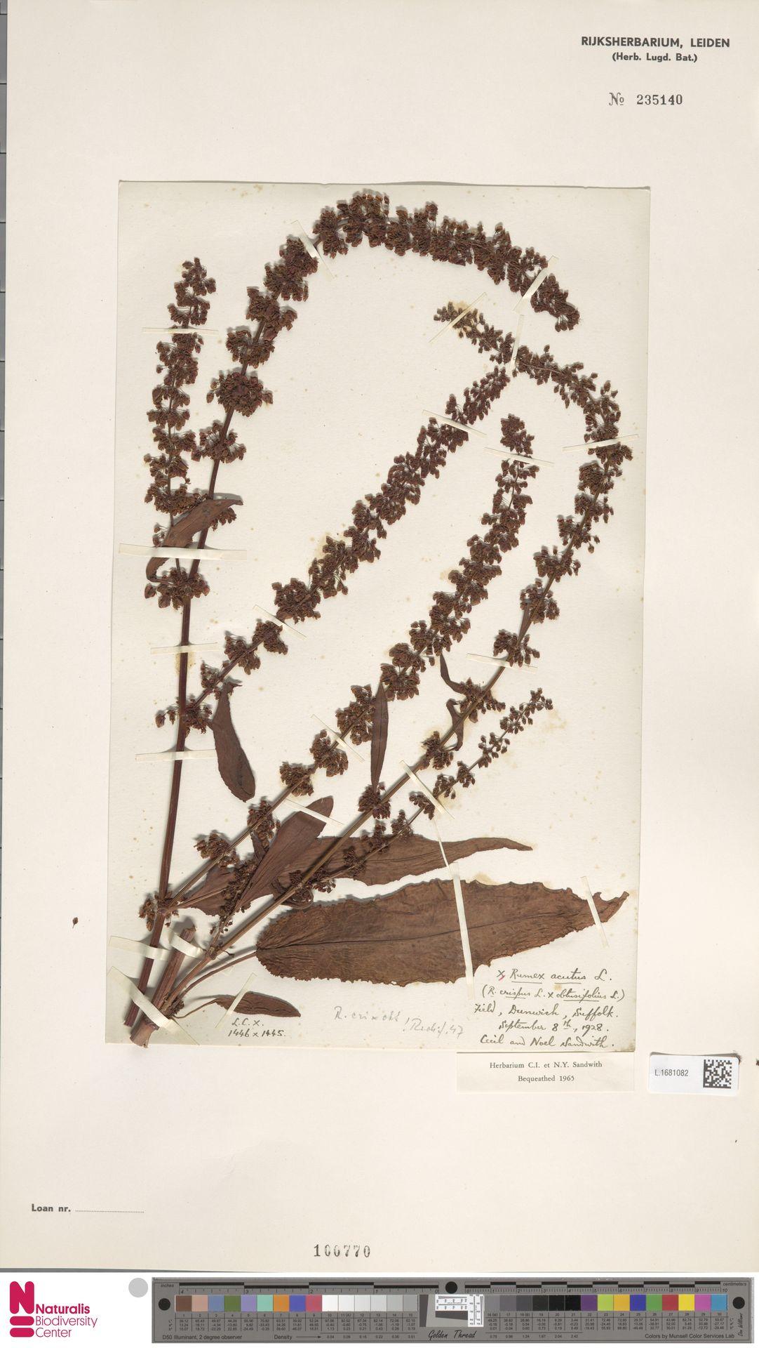 L.1681082 | Rumex acutus Sm.