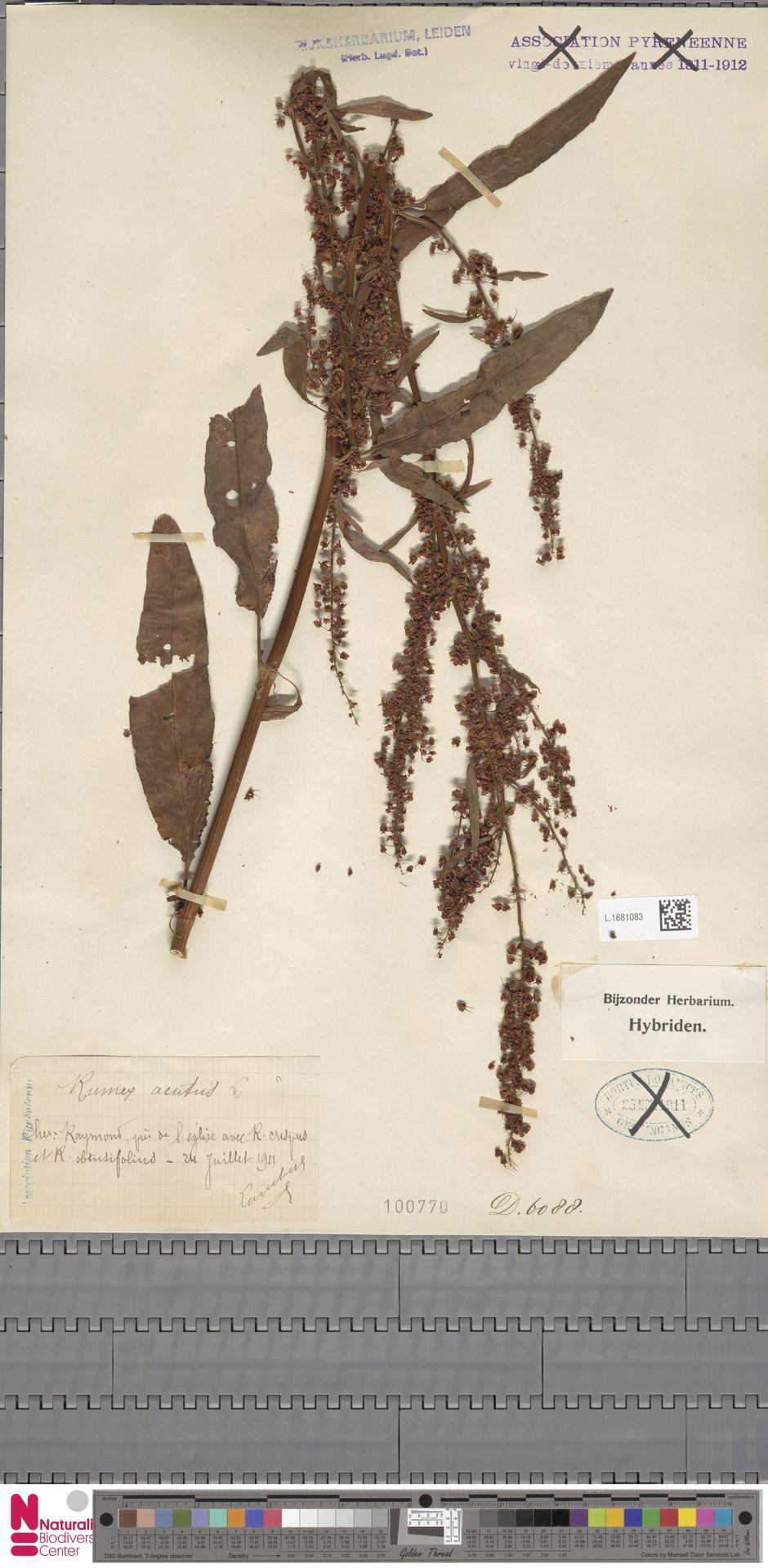 L.1681083   Rumex acutus Sm.