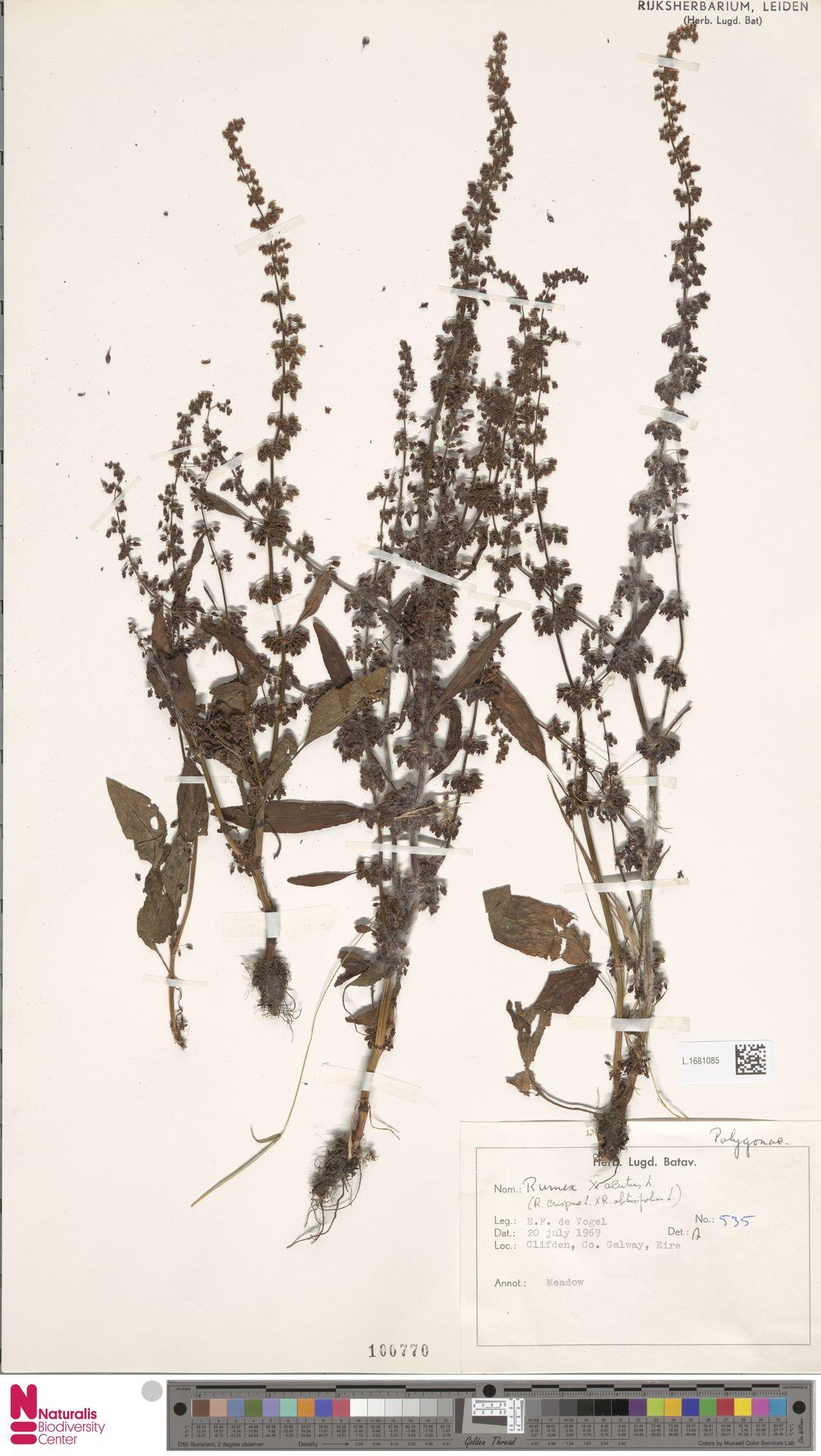 L.1681085 | Rumex acutus Sm.