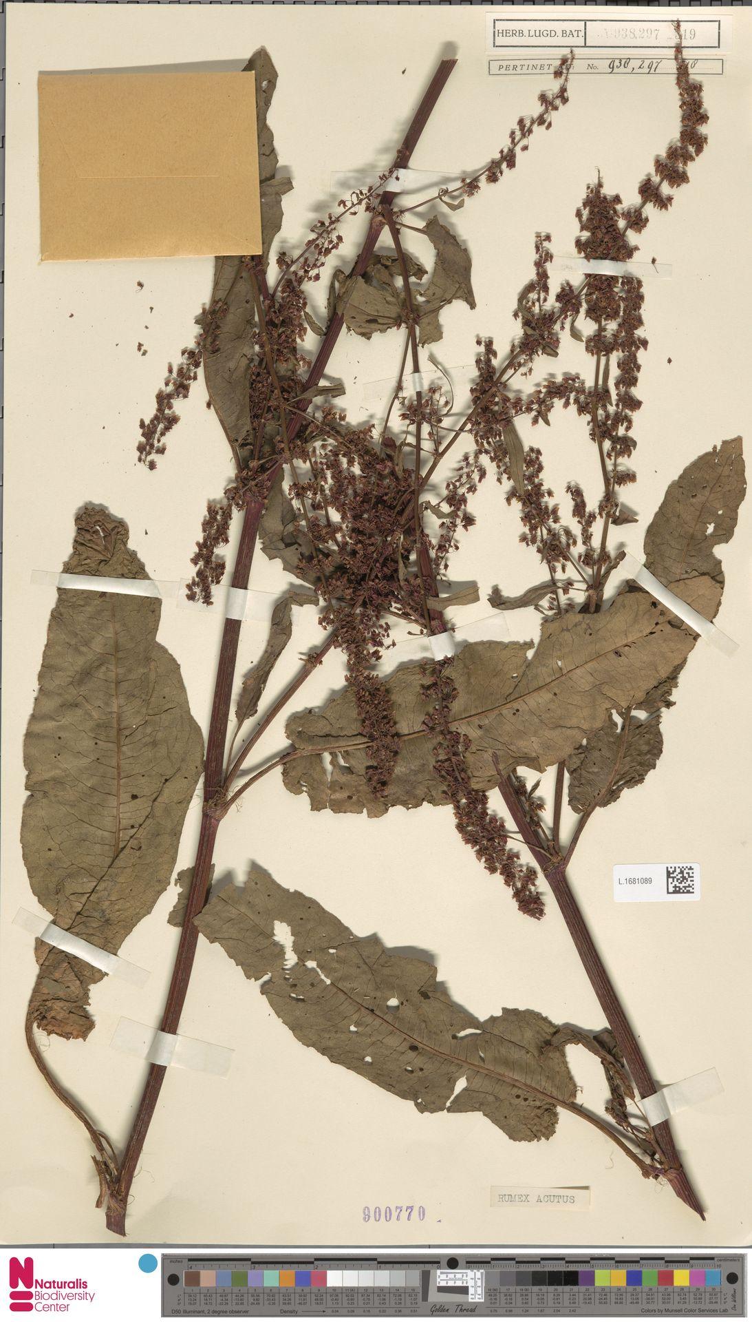 L.1681089 | Rumex acutus Sm.