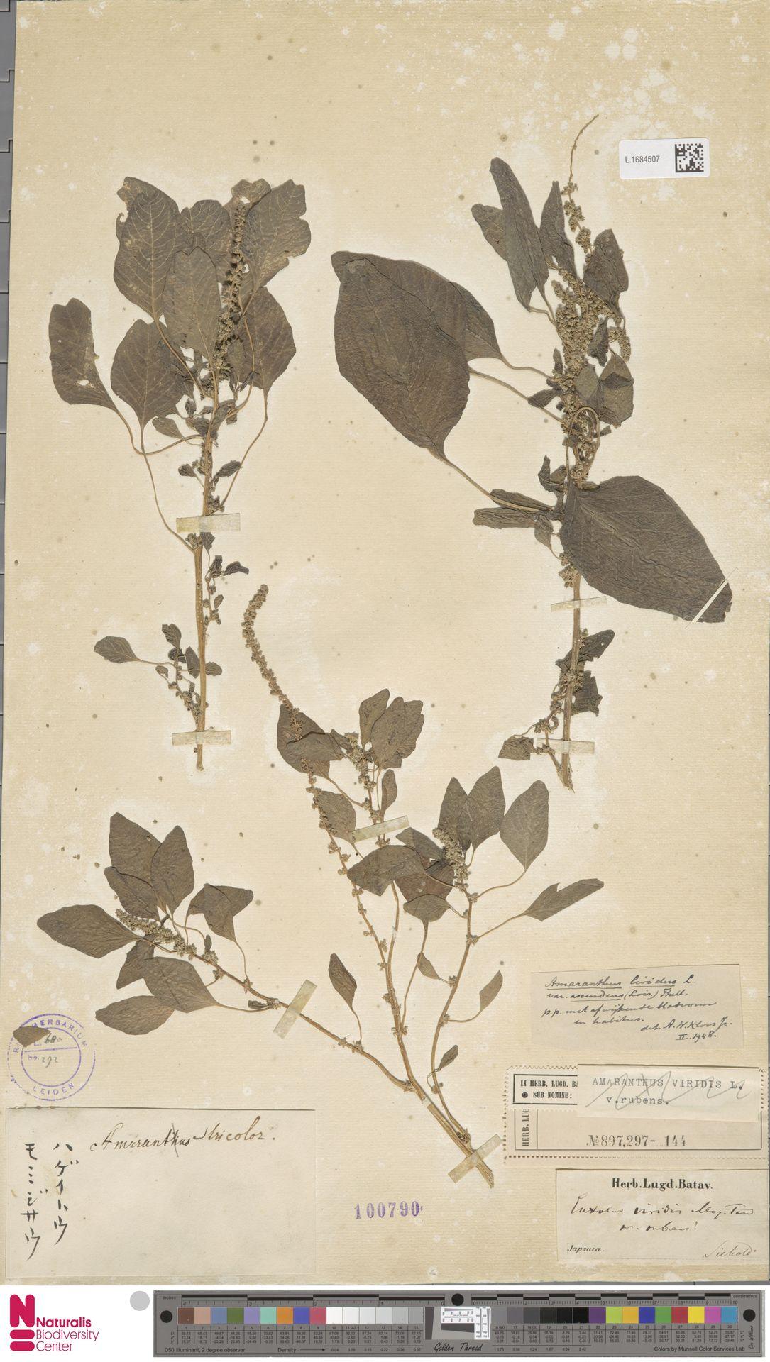 L.1684507 | Amaranthus lividus var. ascendens (Loisel.) Thell. ex Hayw. & Druce