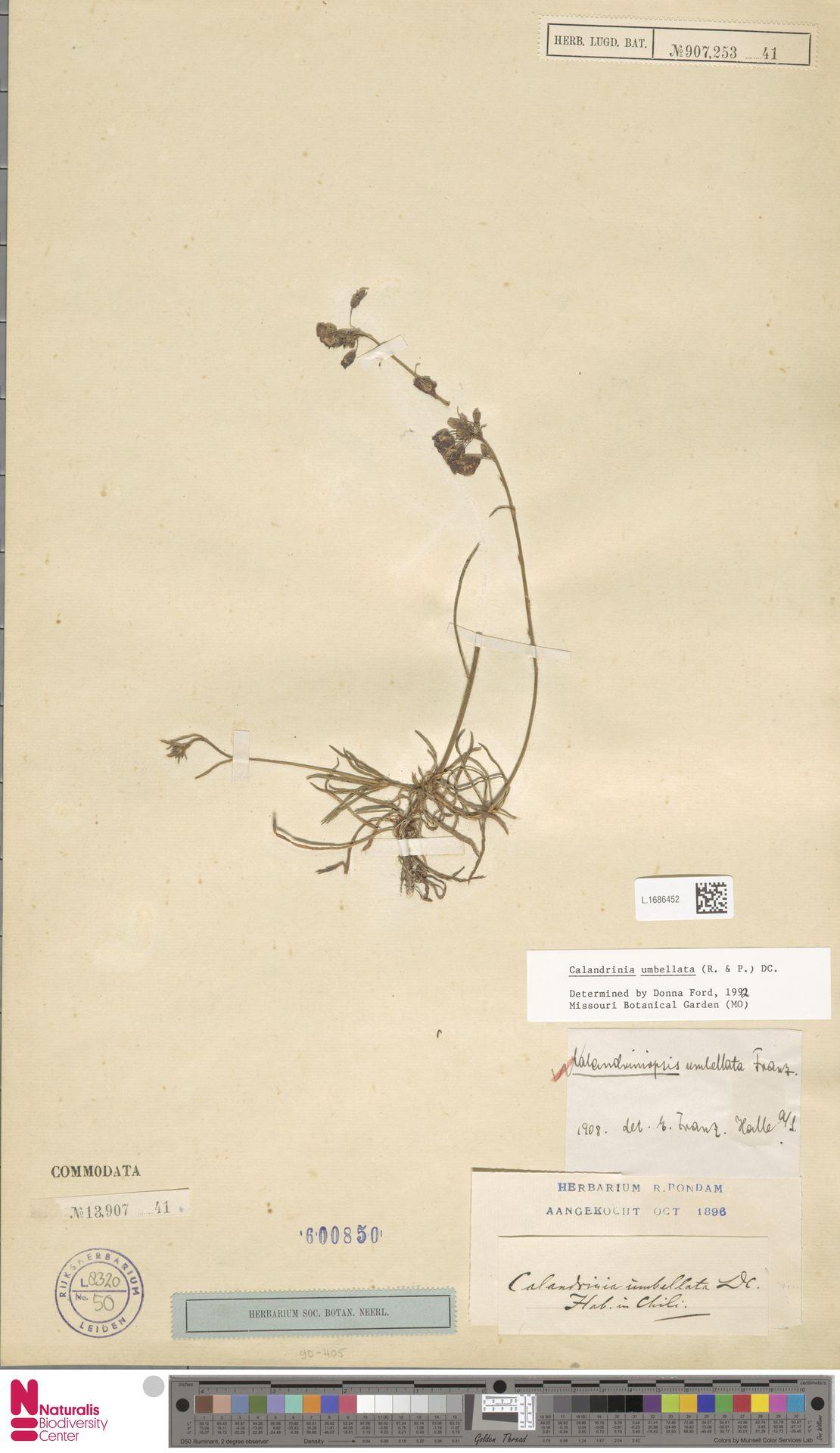 L.1686452 | Calandrinia umbellata DC.