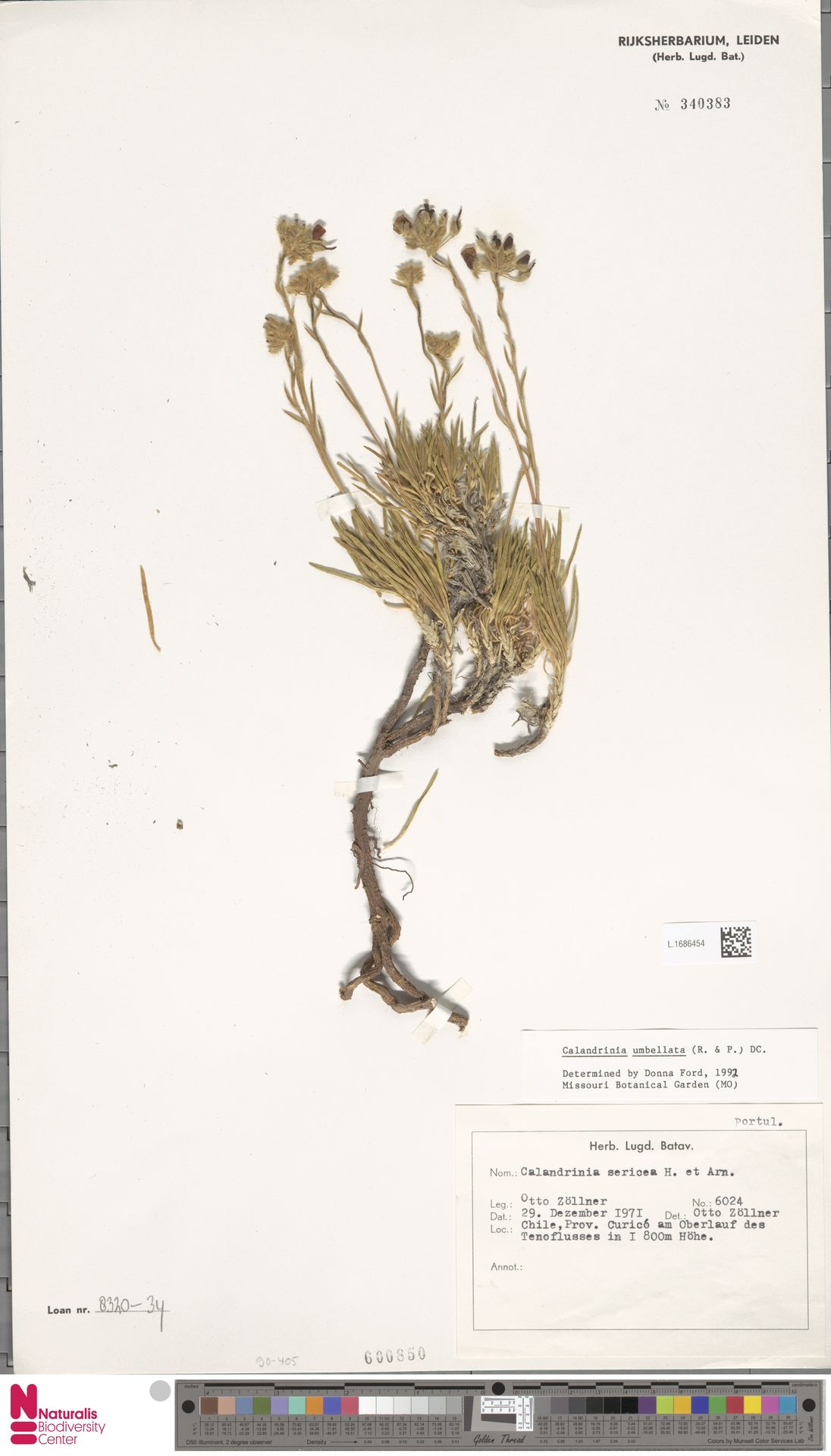 L.1686454 | Calandrinia umbellata DC.