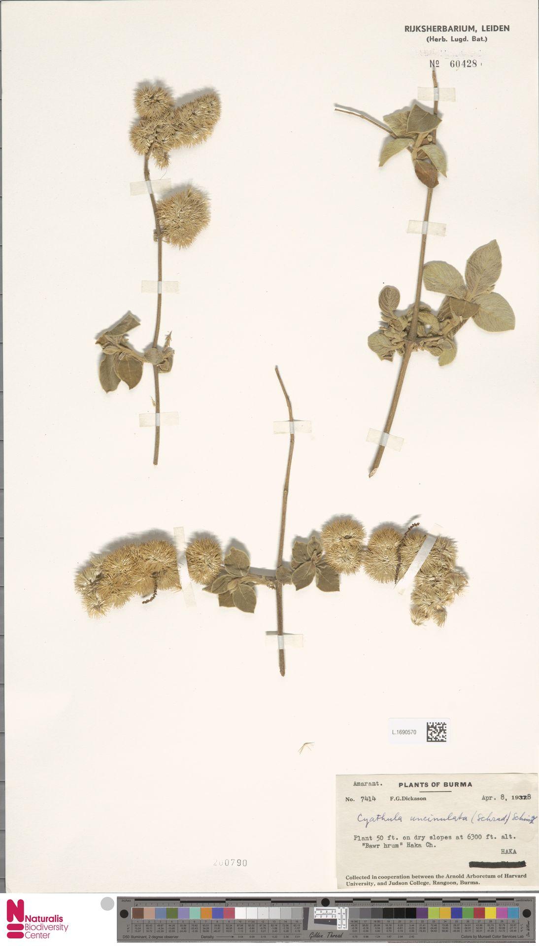 L.1690570 | Cyathula uncinulata (Schrad.) Schinz