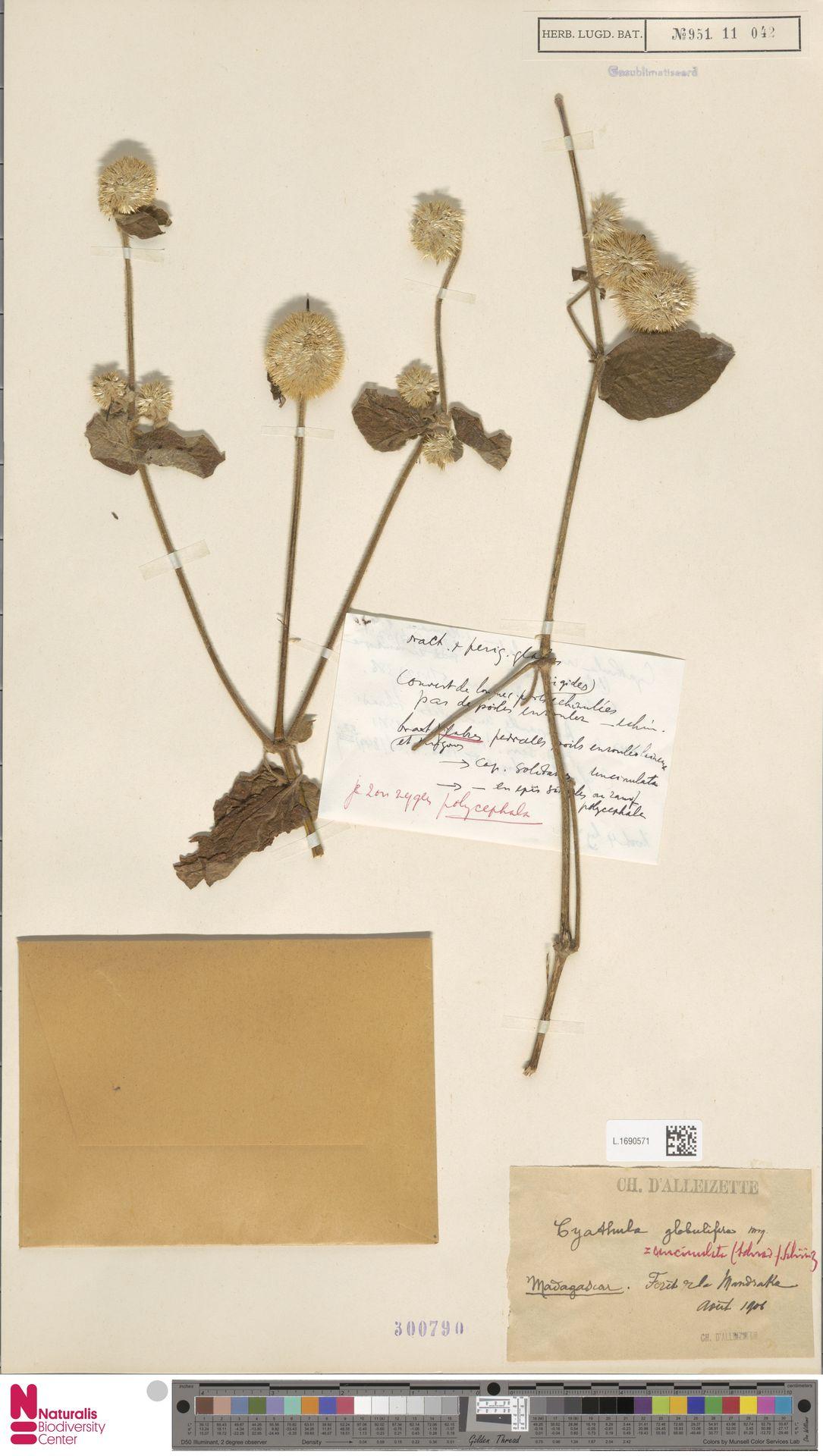 L.1690571 | Cyathula uncinulata (Schrad.) Schinz