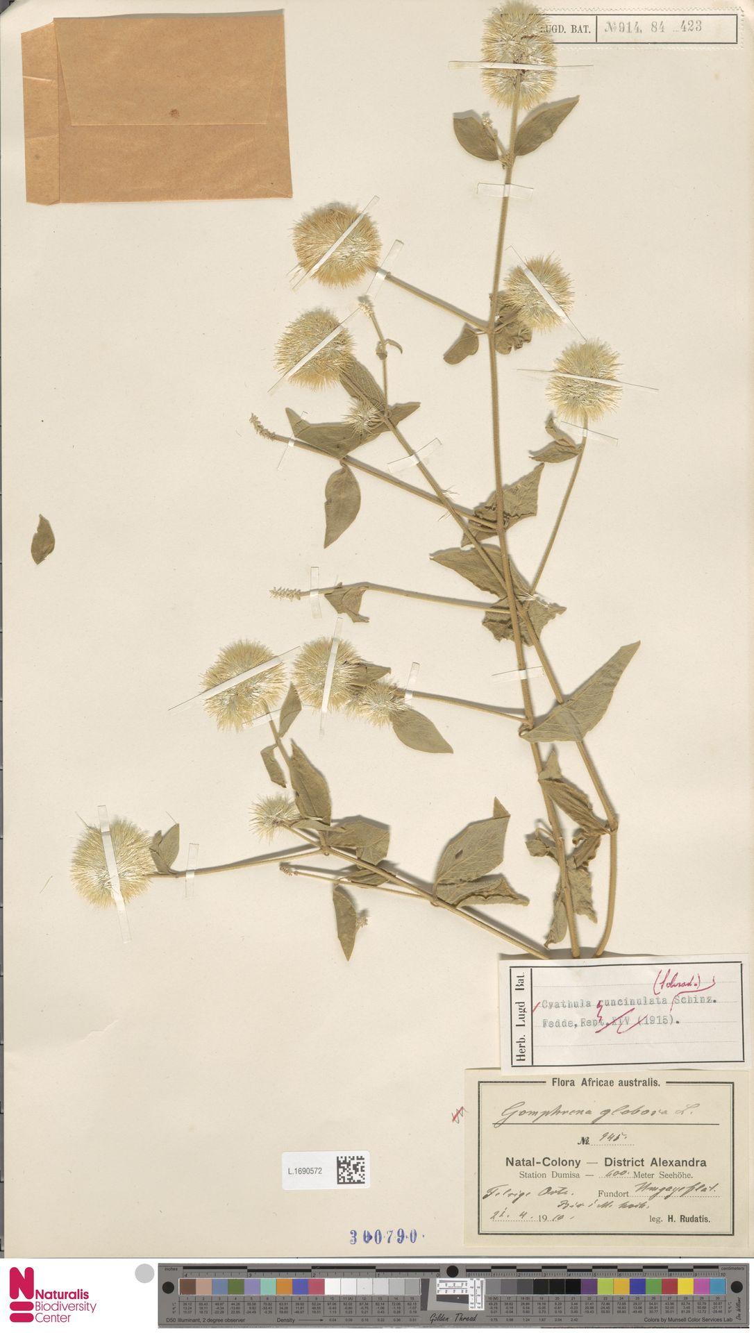 L.1690572 | Cyathula uncinulata (Schrad.) Schinz
