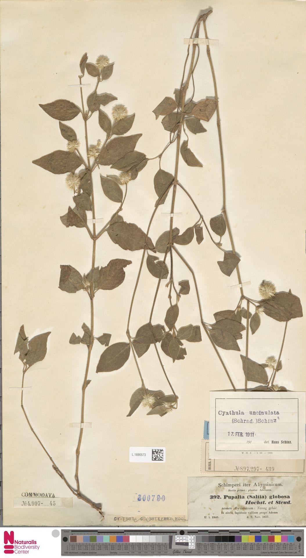 L.1690573 | Cyathula uncinulata (Schrad.) Schinz