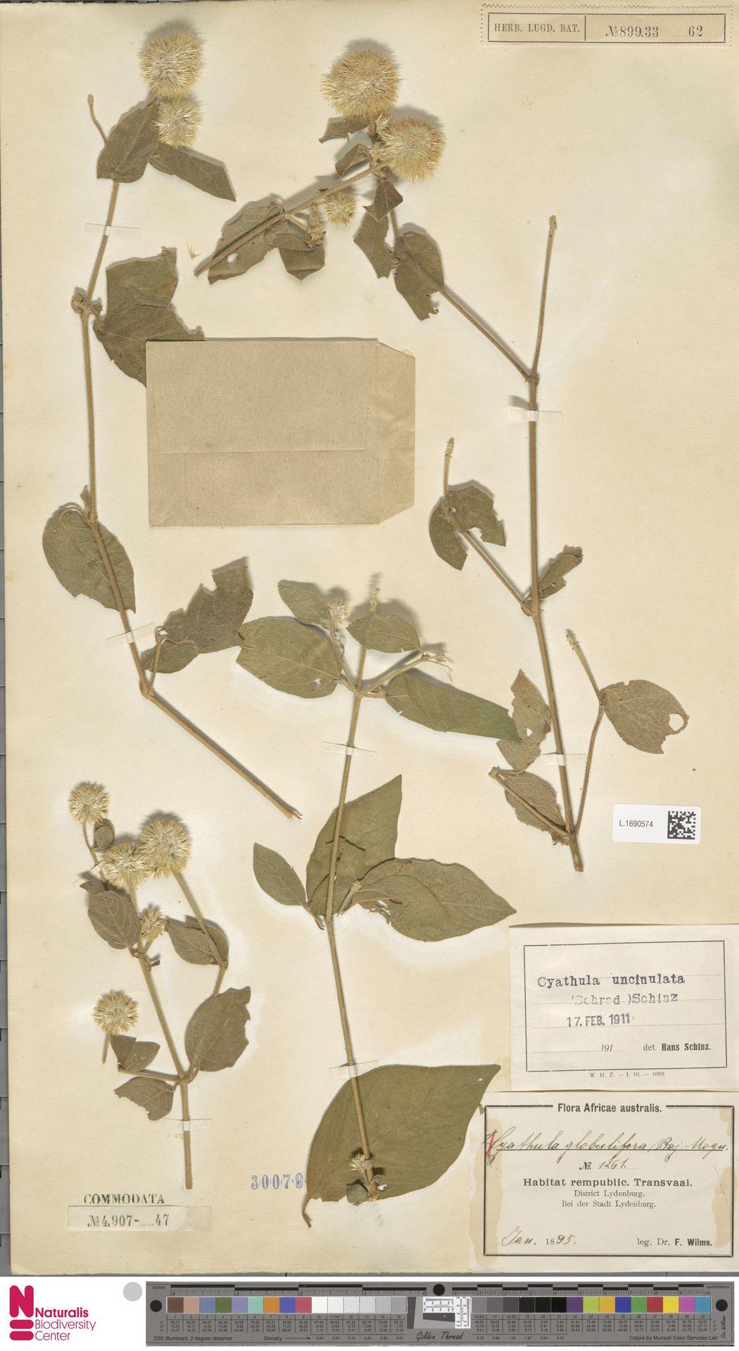 L.1690574 | Cyathula uncinulata (Schrad.) Schinz