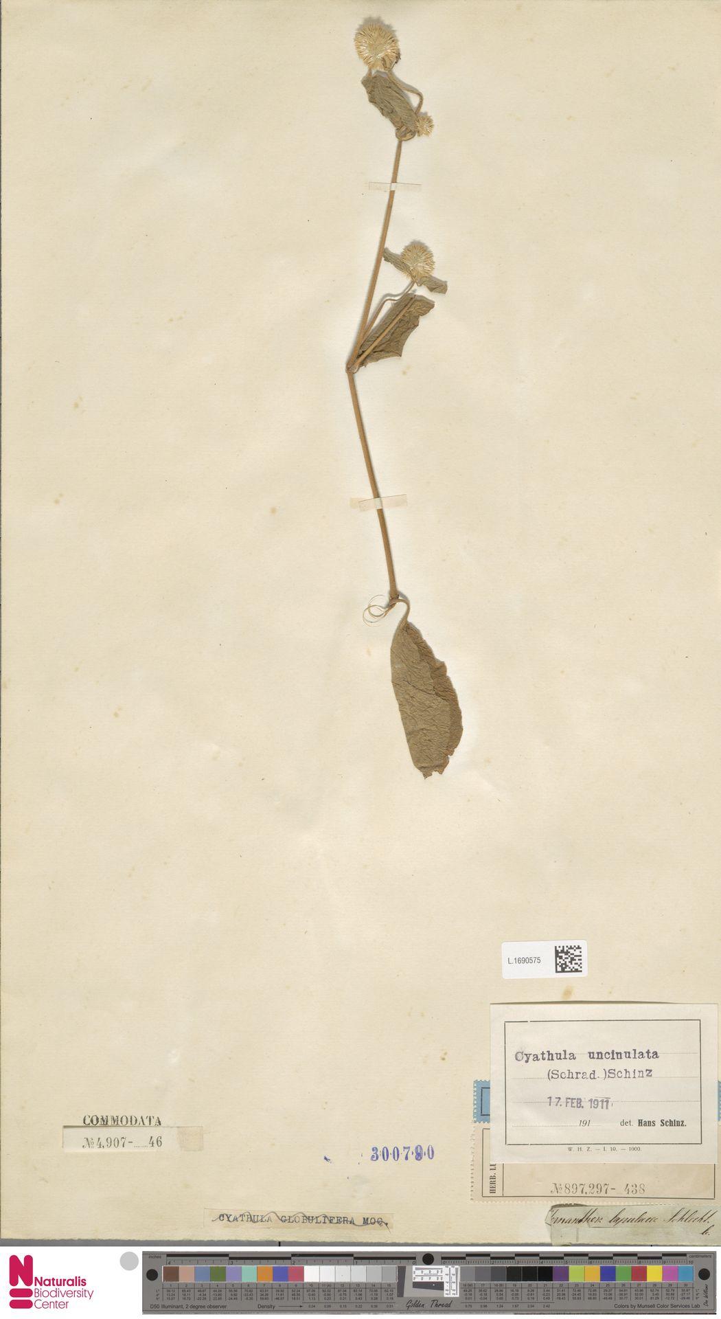 L.1690575 | Cyathula uncinulata (Schrad.) Schinz