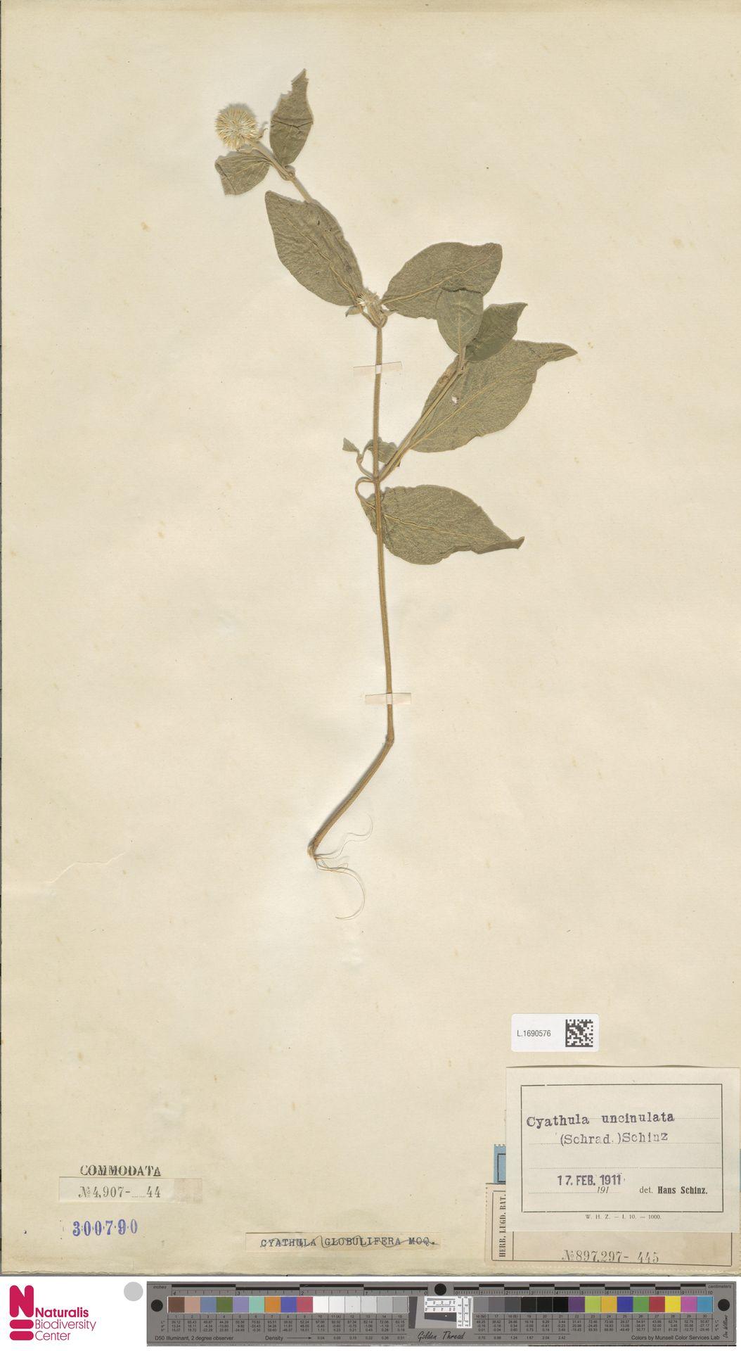 L.1690576 | Cyathula uncinulata (Schrad.) Schinz