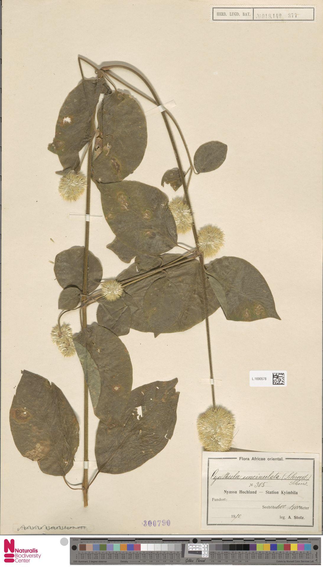 L.1690578 | Cyathula uncinulata (Schrad.) Schinz