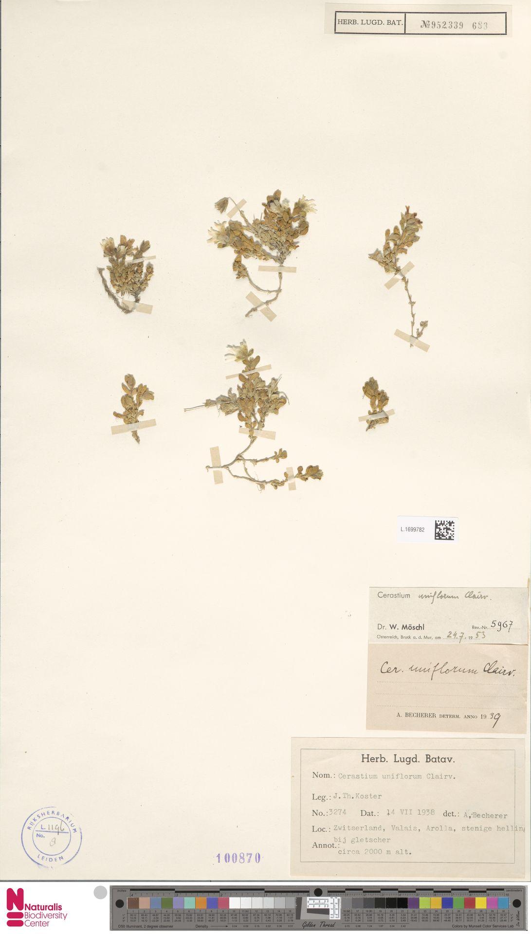 L.1699782 | Cerastium uniflorum Clairv.