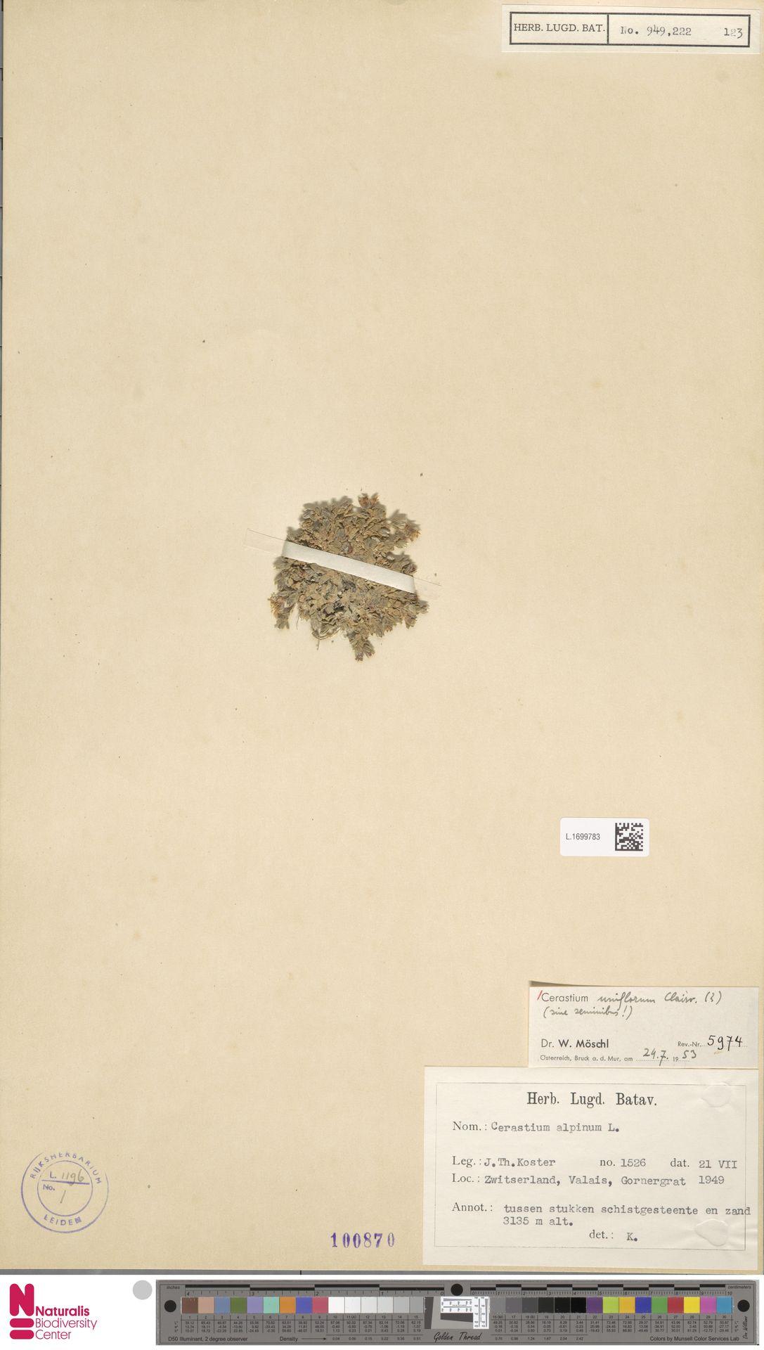 L.1699783 | Cerastium uniflorum Clairv.