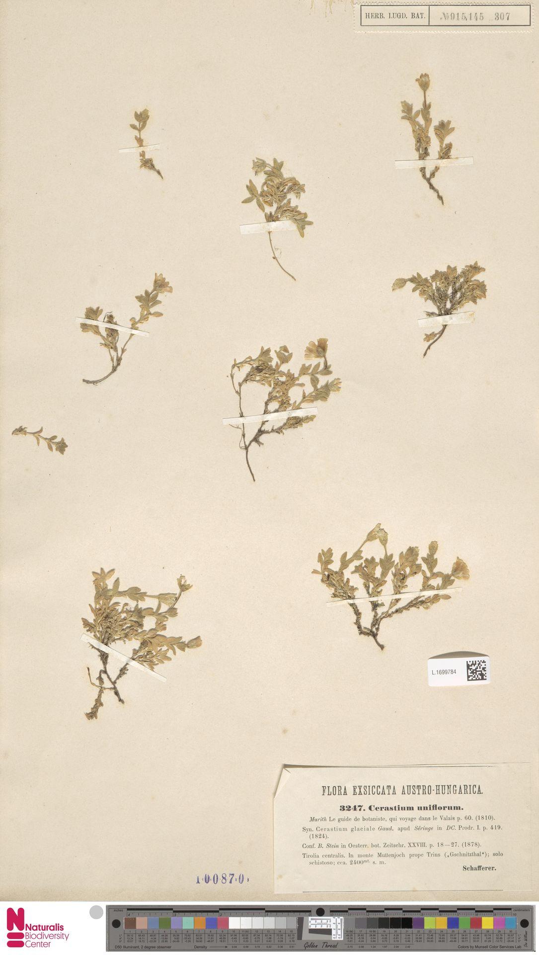 L.1699784 | Cerastium uniflorum Clairv.