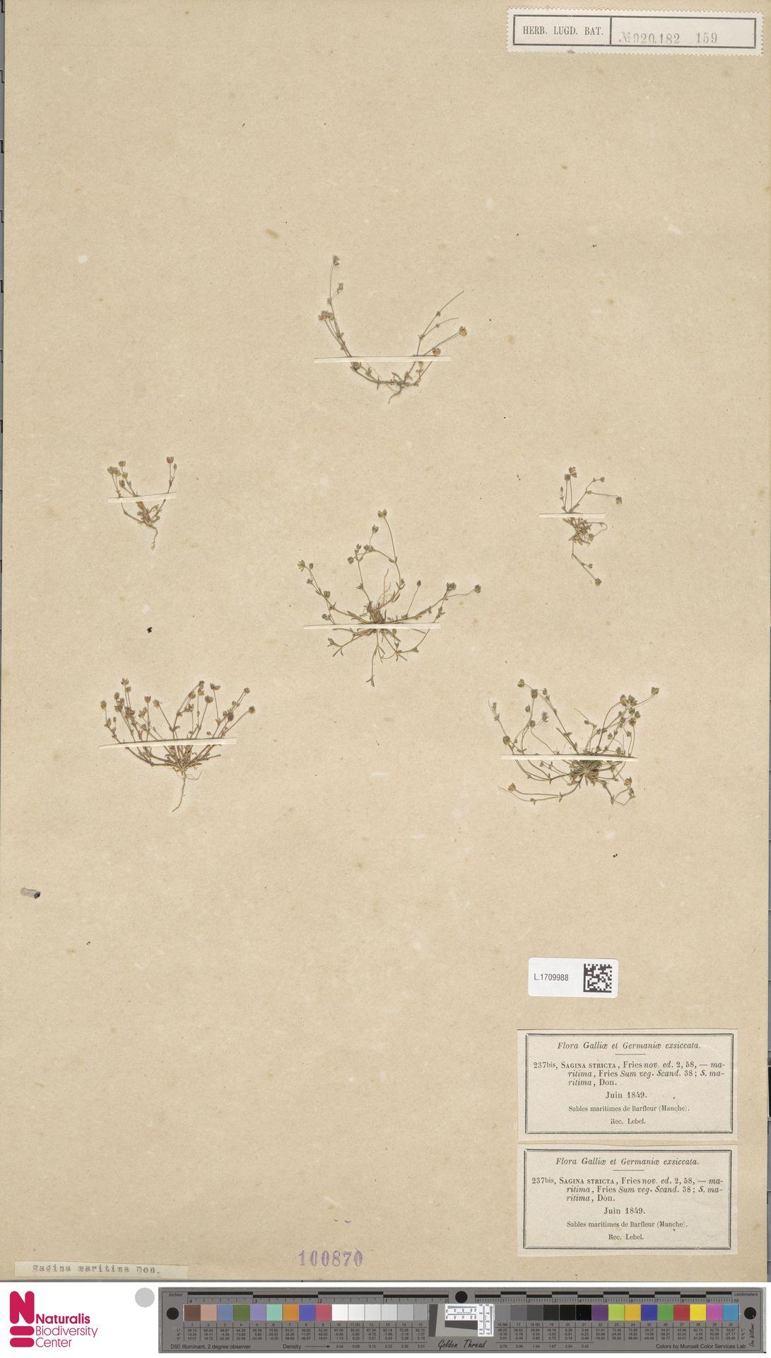 L.1709988 | Sagina maritima G.Don