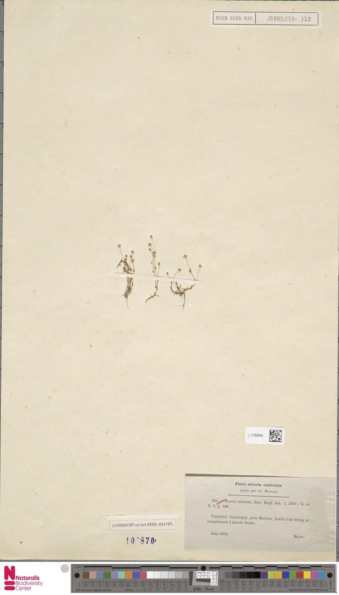 L.1709994 | Sagina maritima G.Don