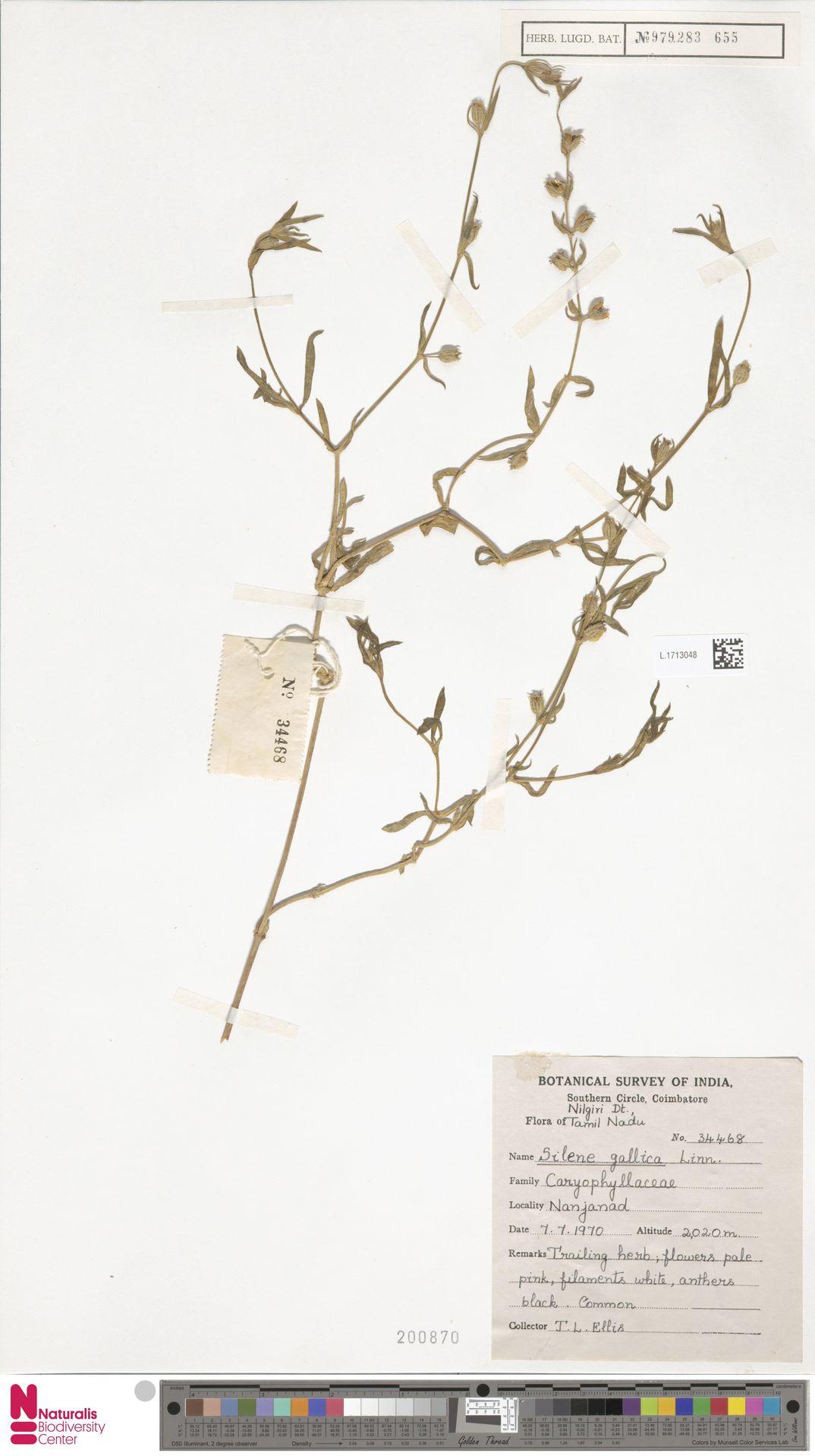L.1713048   Silene gallica L.