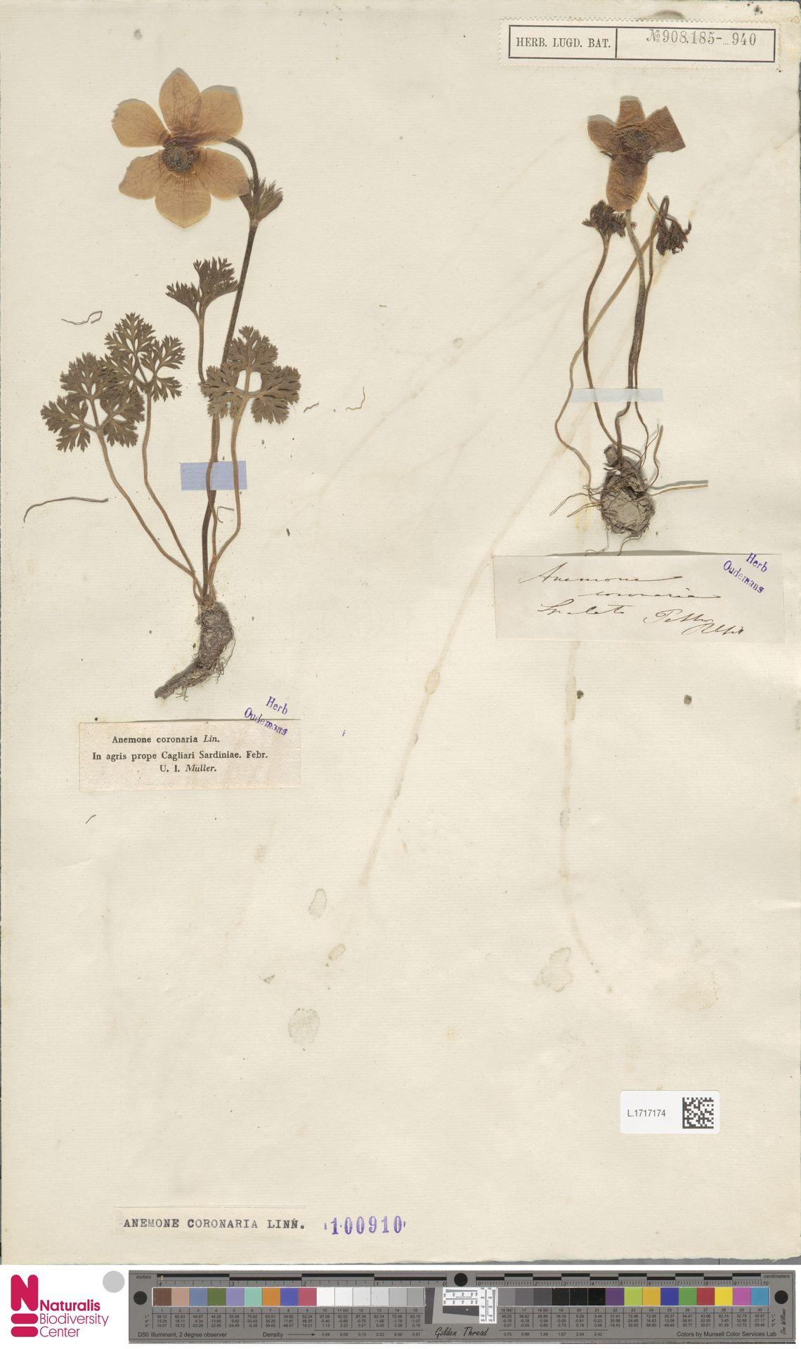 L.1717174 | Anemone coronaria L.
