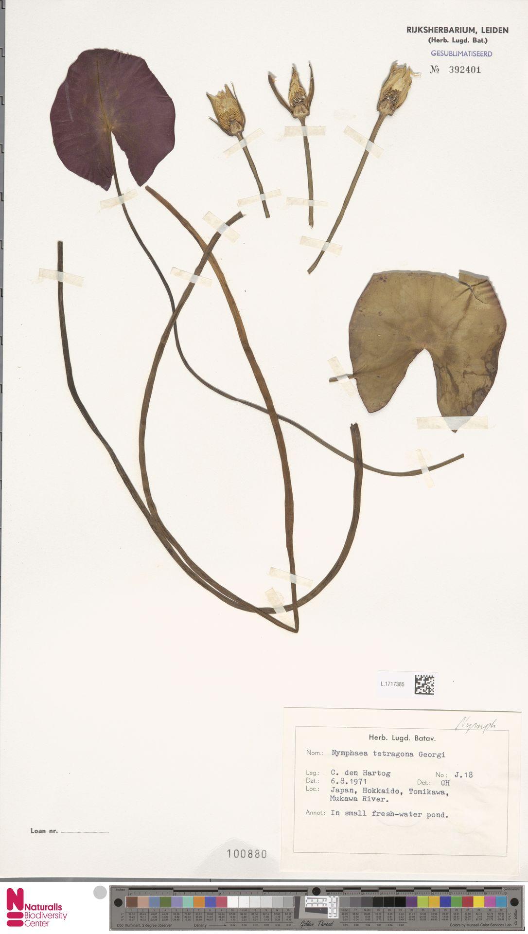 L.1717385 | Nymphaea tetragona Georgi
