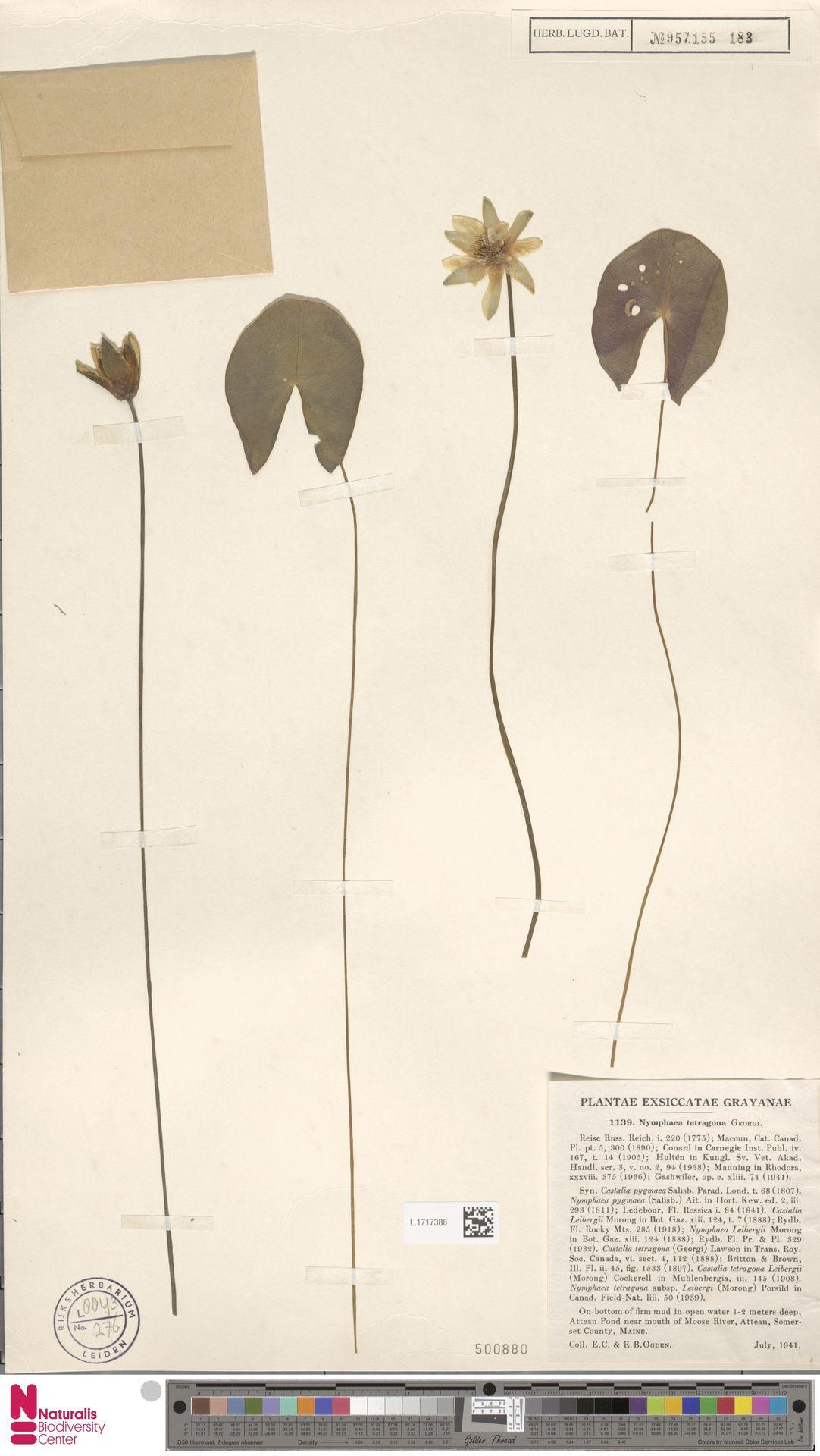 L.1717388 | Nymphaea tetragona Georgi