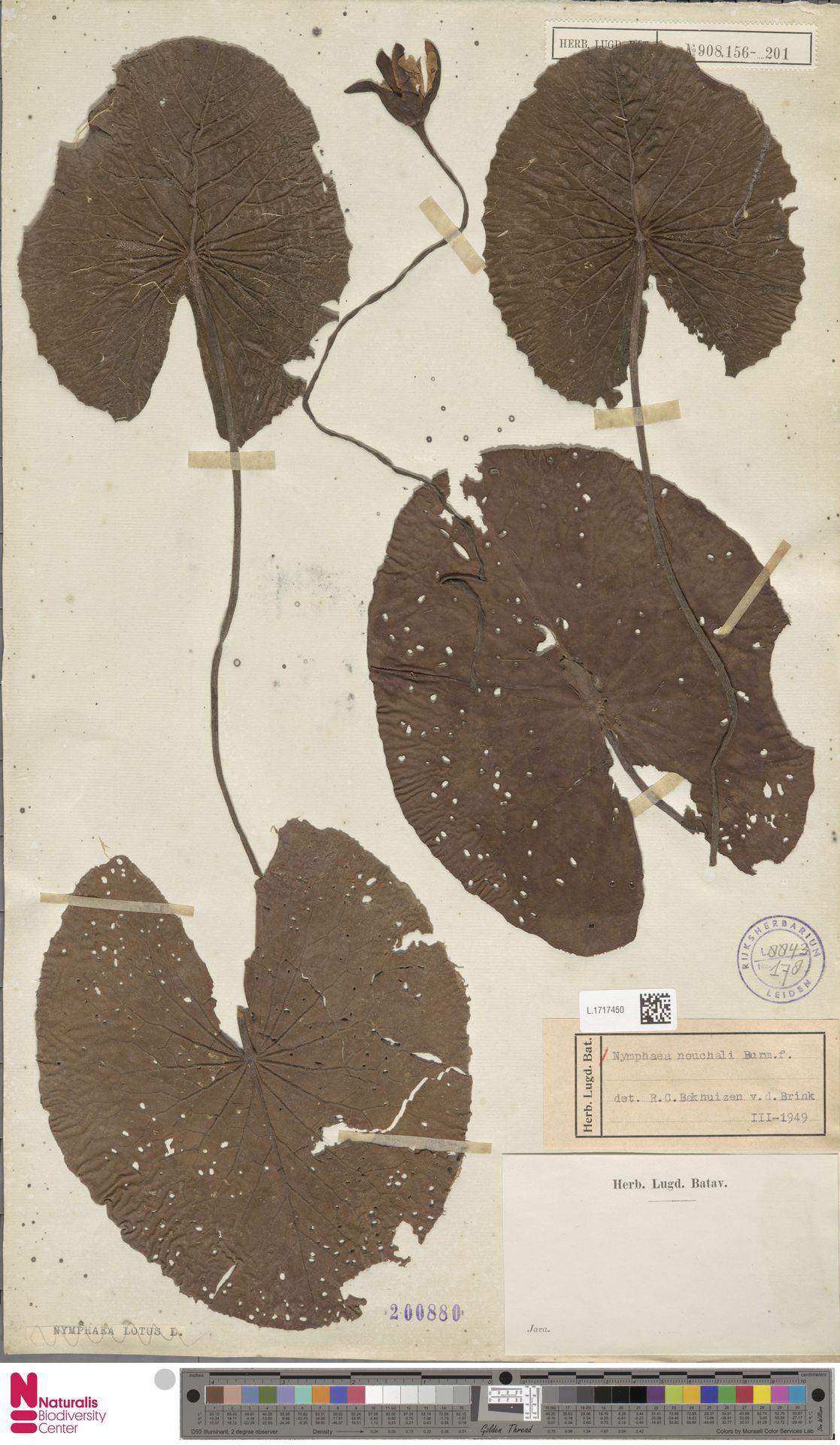 L.1717450 | Nymphaea nouchali Burm.f.