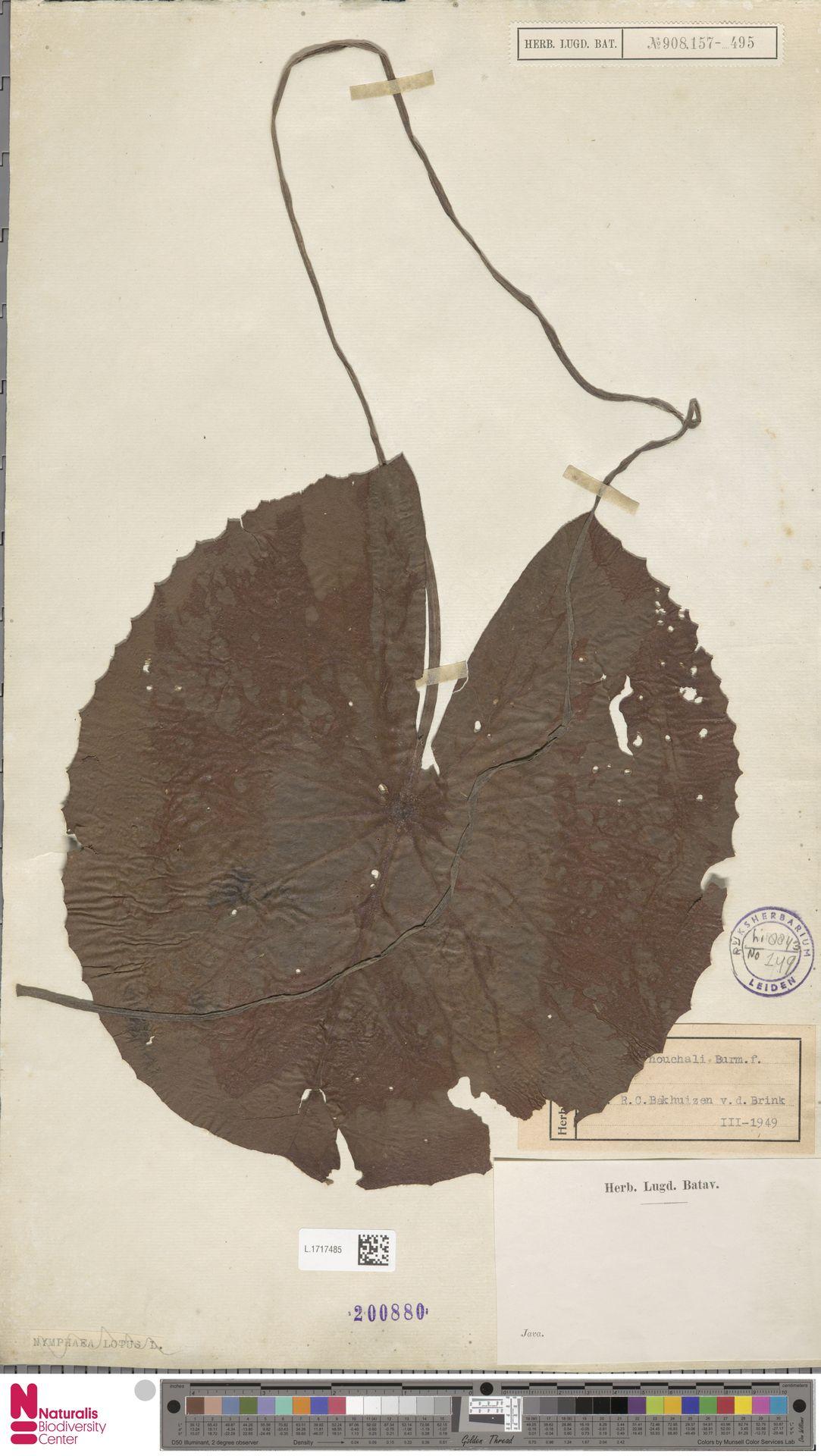L.1717485 | Nymphaea nouchali Burm.f.