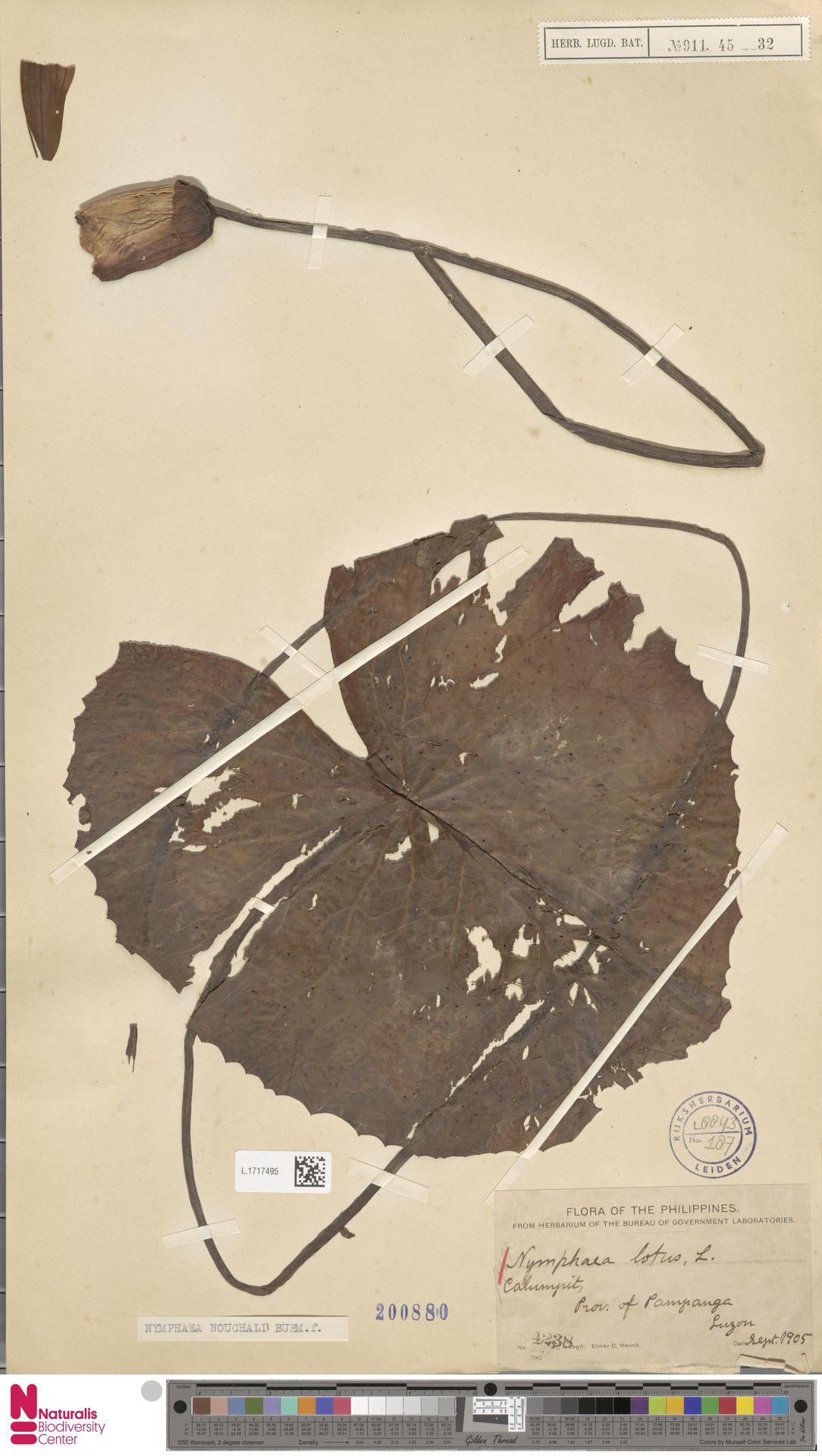 L.1717495 | Nymphaea nouchali Burm.f.