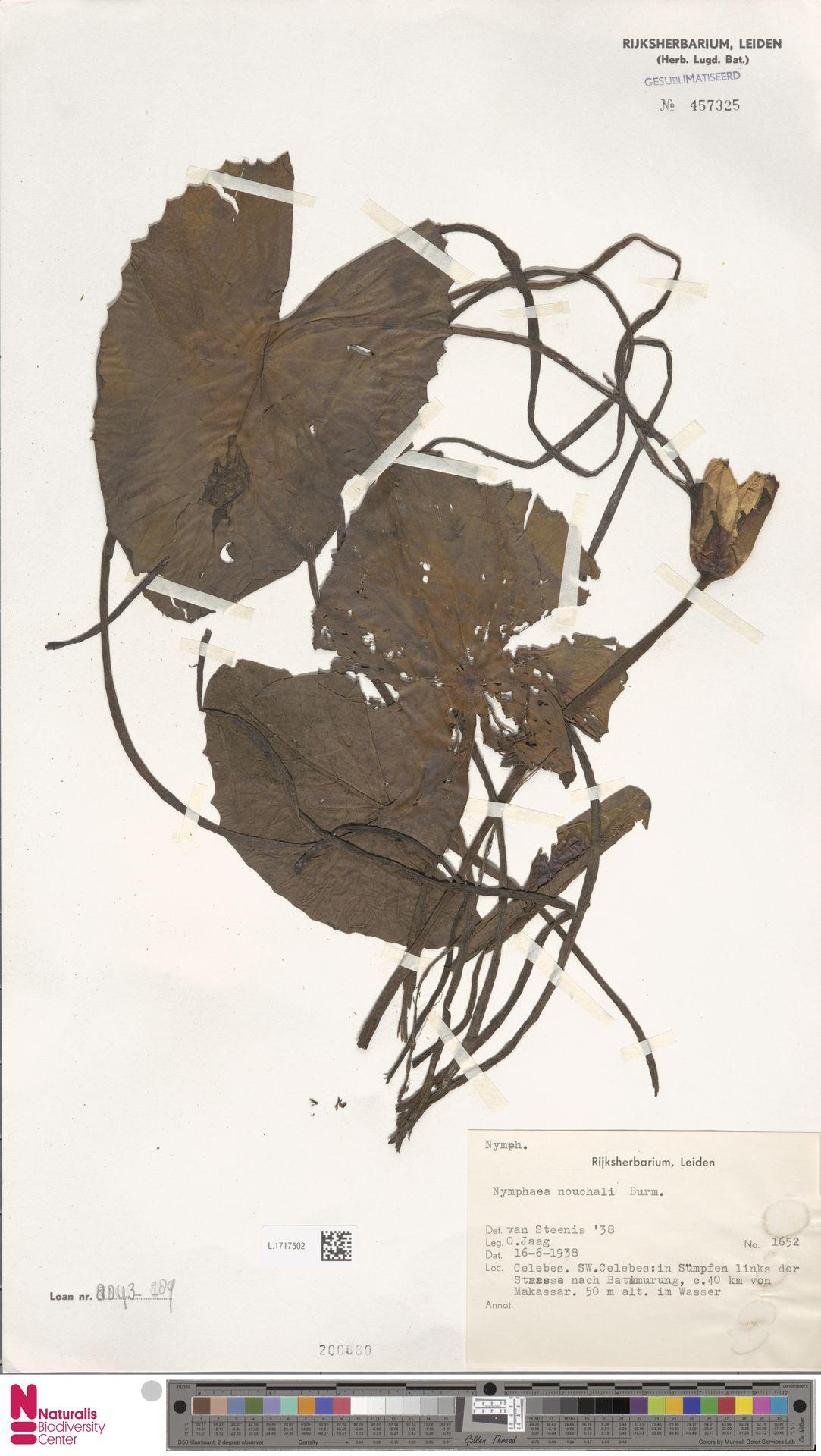 L.1717502 | Nymphaea nouchali Burm.f.