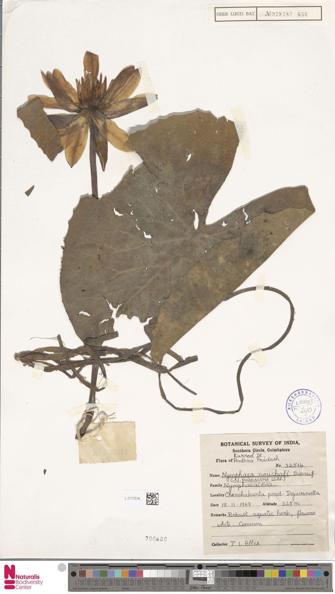 L.1717576   Nymphaea nouchali Burm.f.