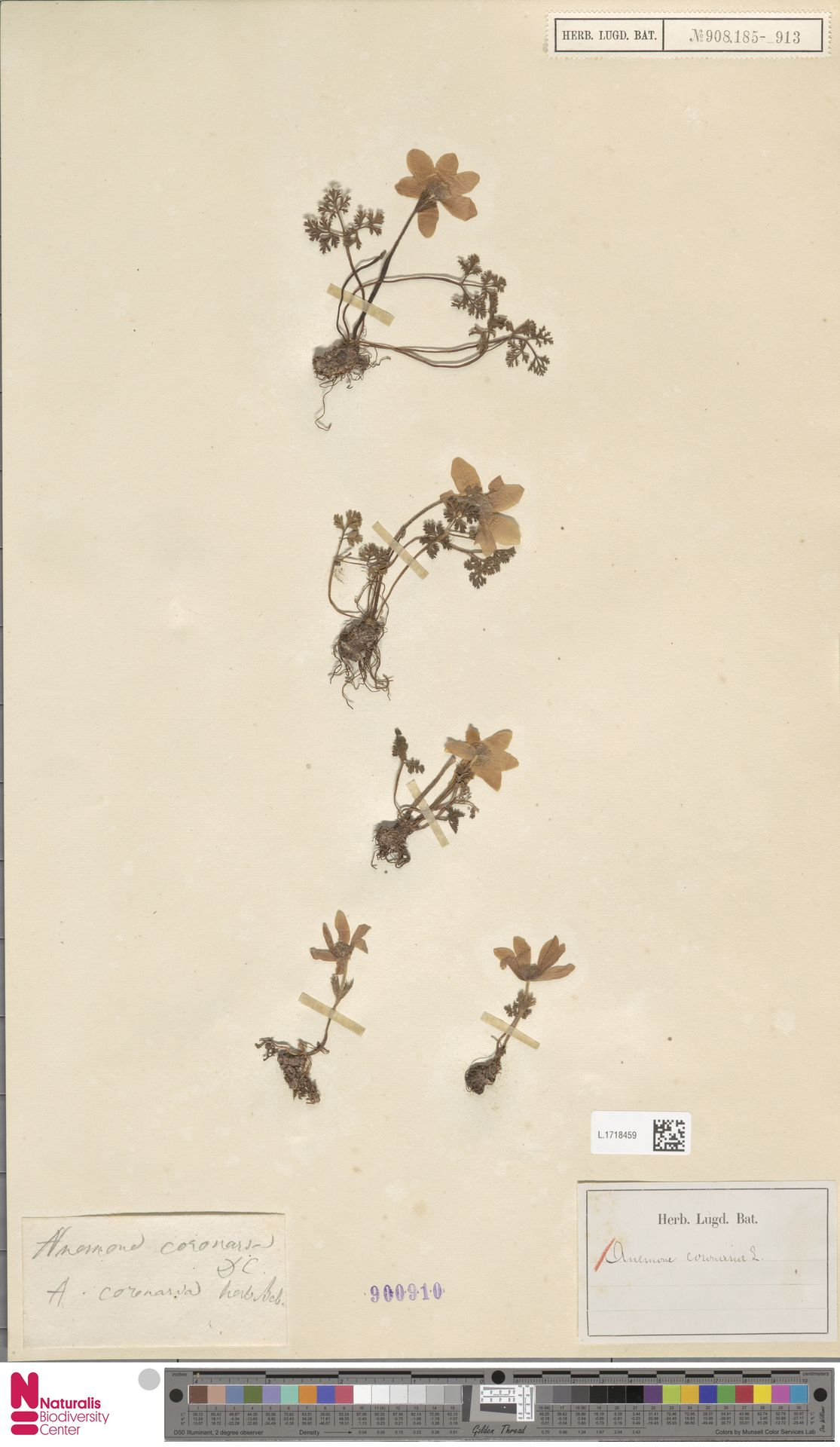 L.1718459 | Anemone coronaria L.