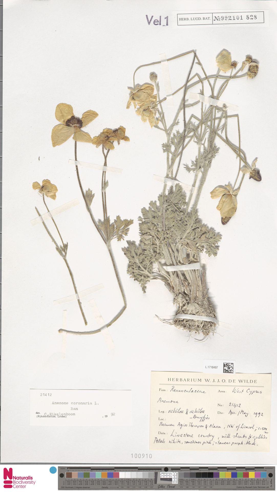 L.1718497 | Anemone coronaria L.