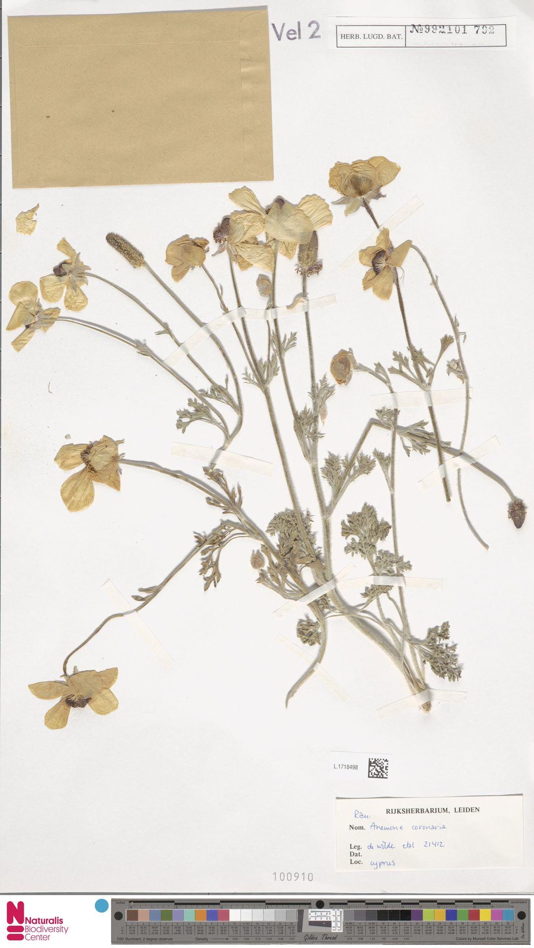 L.1718498 | Anemone coronaria L.
