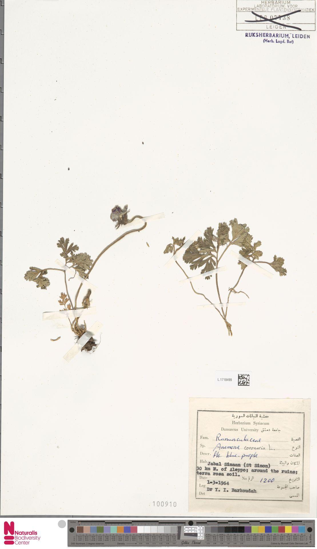 L.1718499 | Anemone coronaria L.