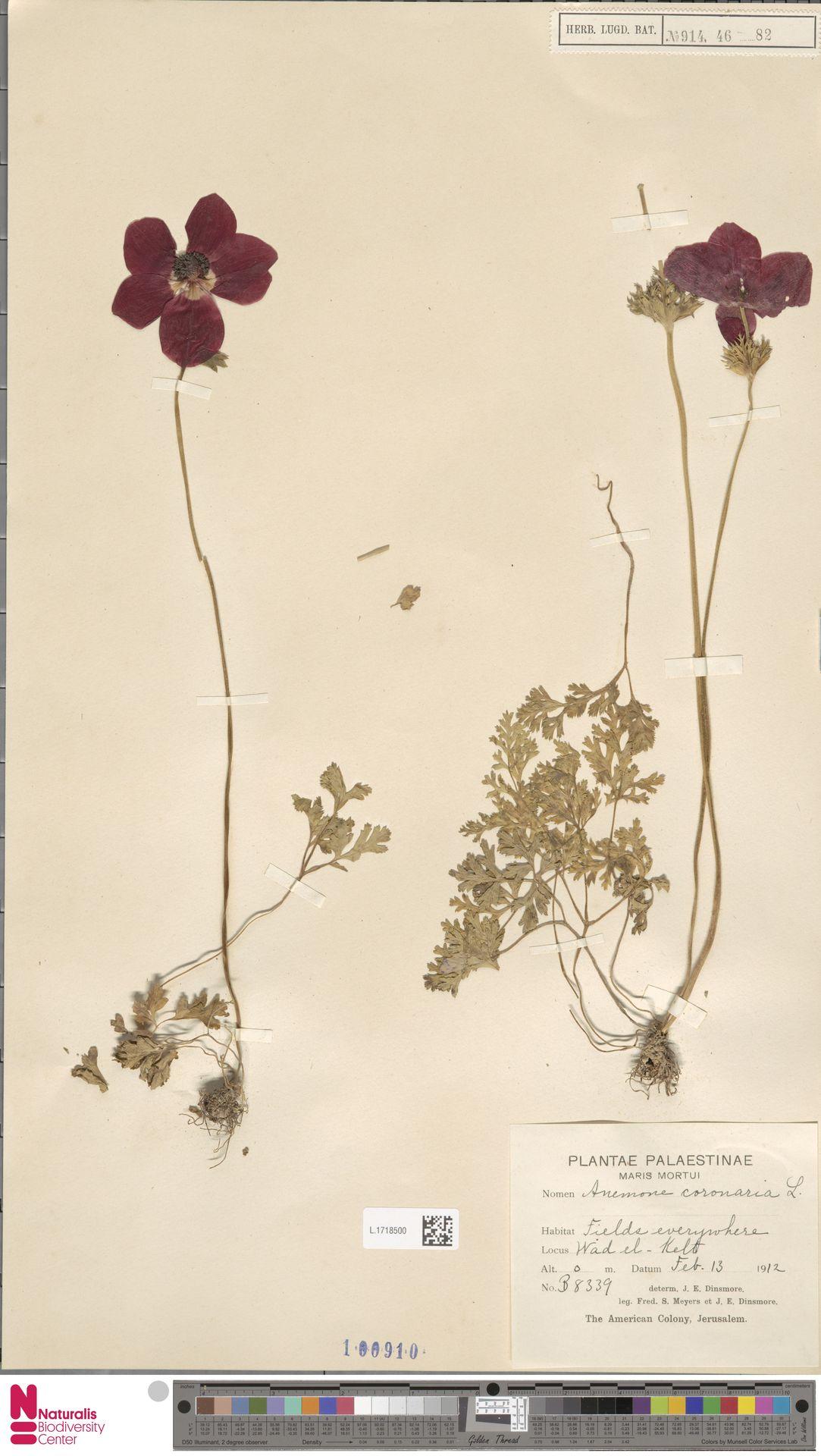 L.1718500 | Anemone coronaria L.