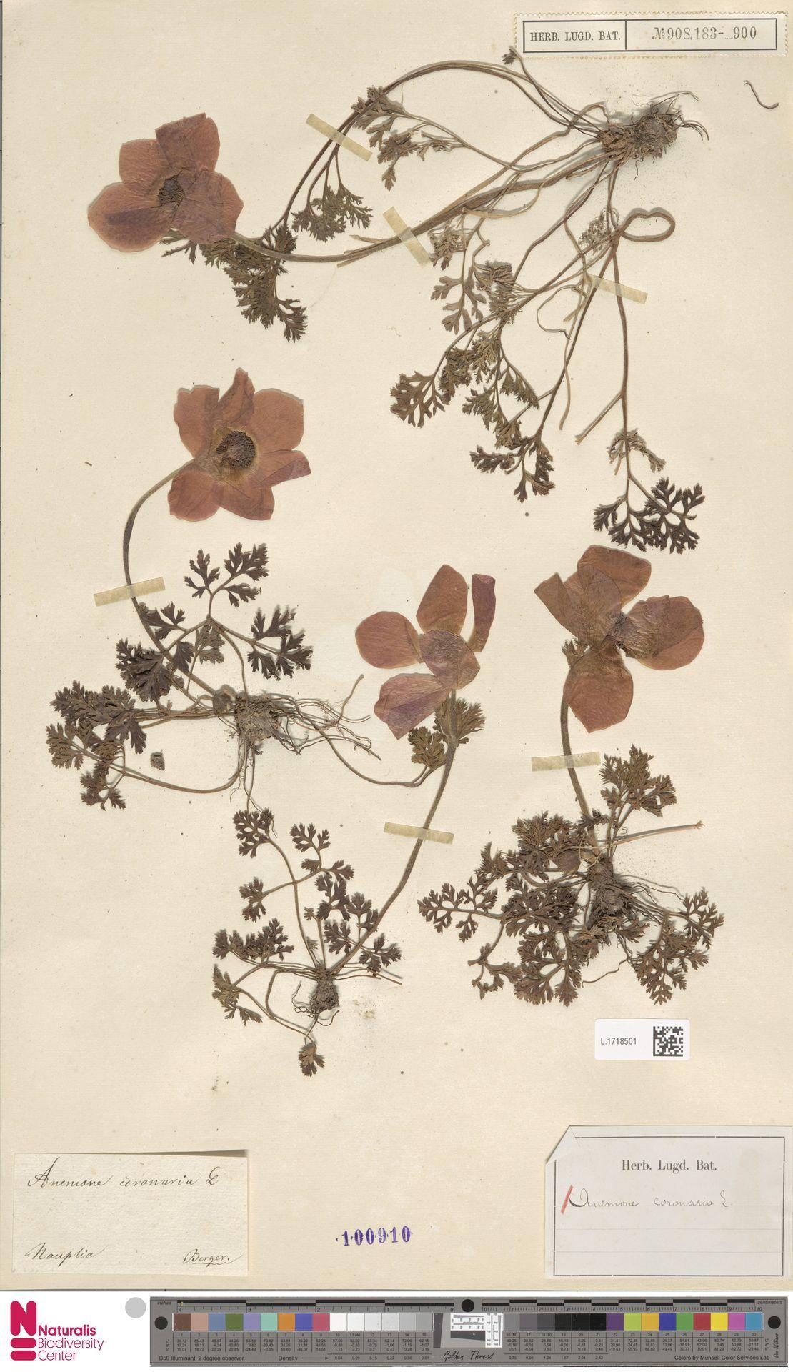 L.1718501 | Anemone coronaria L.