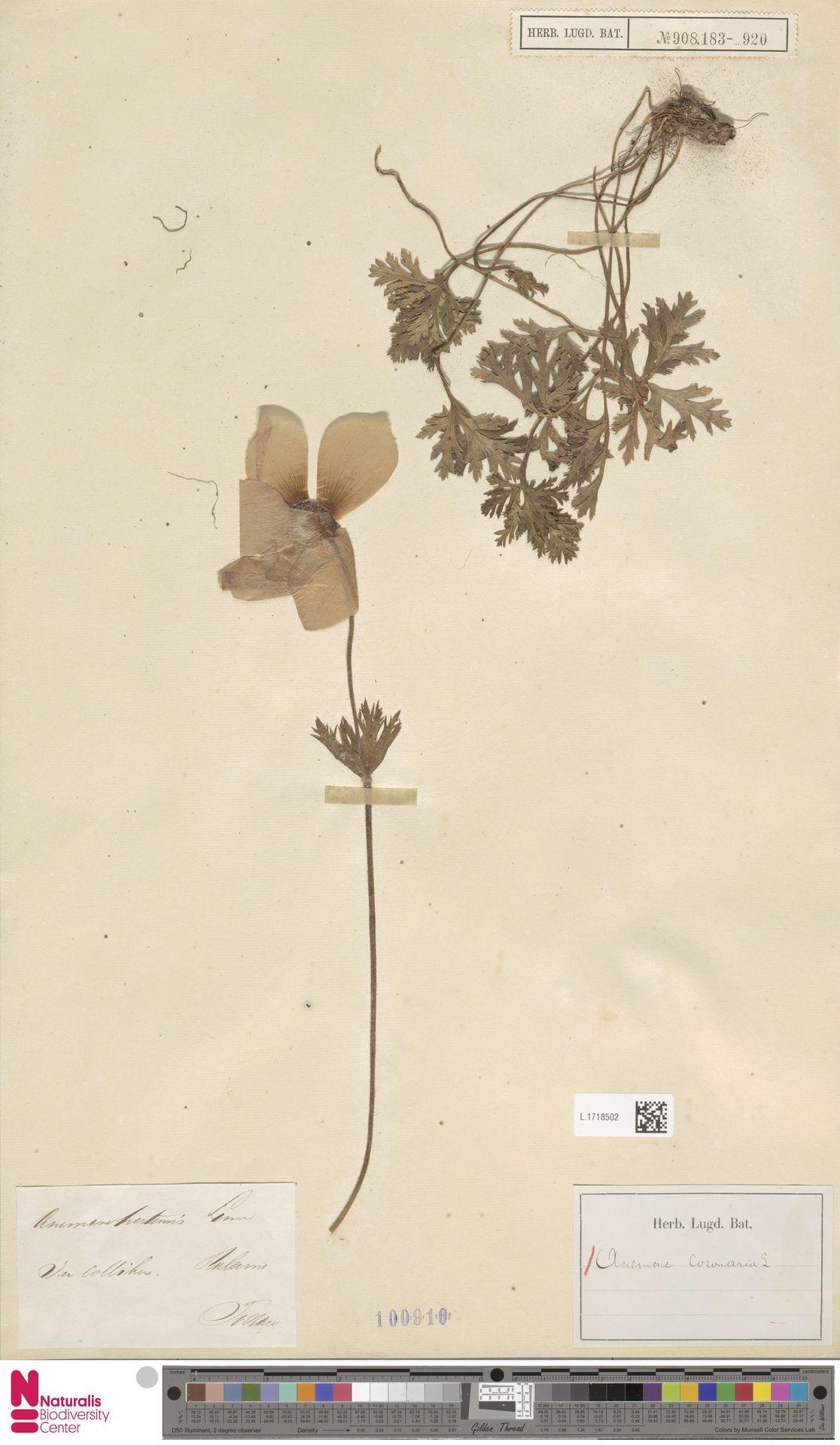 L.1718502 | Anemone coronaria L.