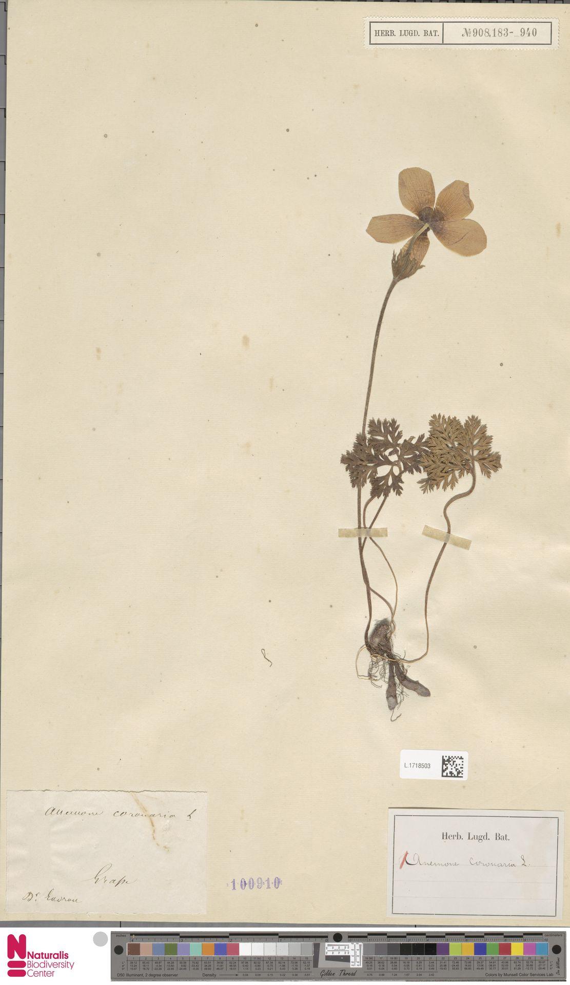 L.1718503 | Anemone coronaria L.