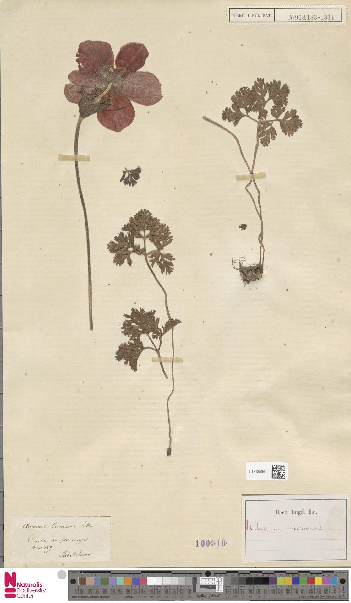L.1718504 | Anemone coronaria L.