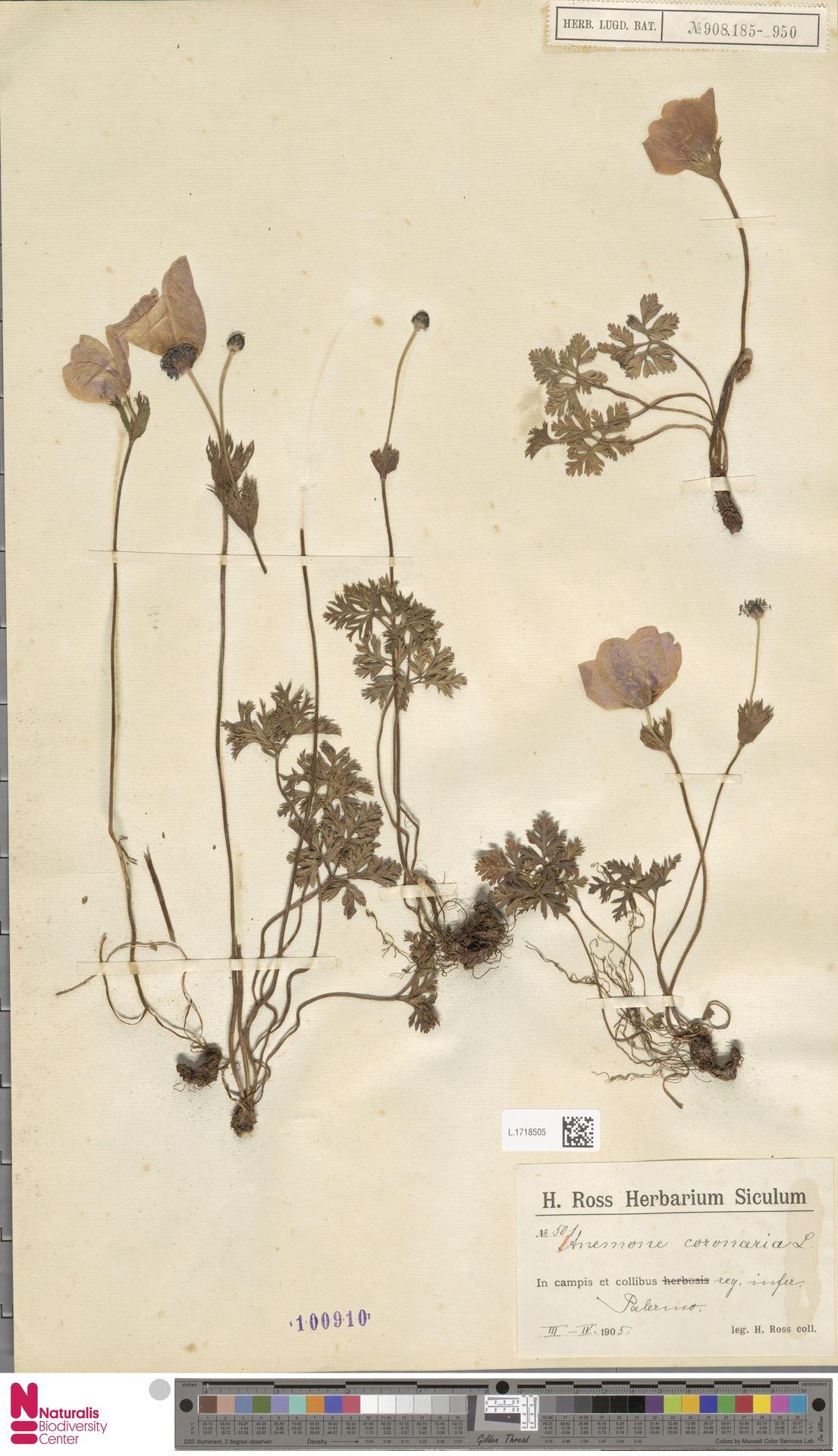L.1718505 | Anemone coronaria L.