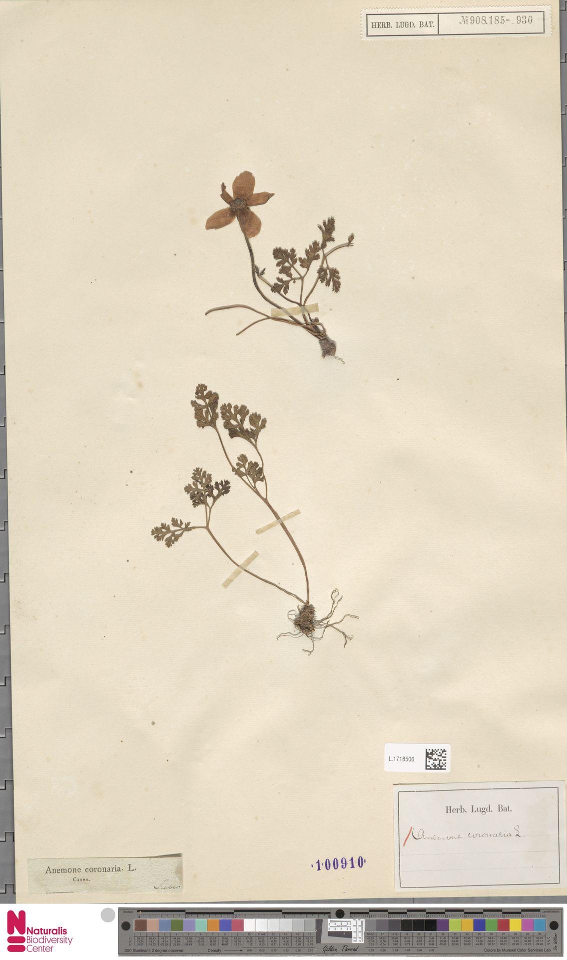 L.1718506 | Anemone coronaria L.