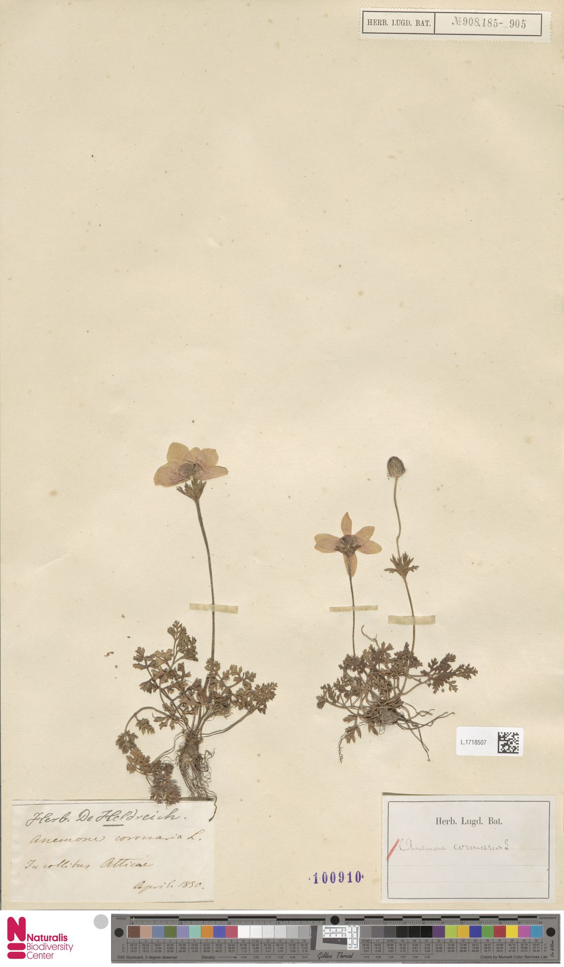 L.1718507 | Anemone coronaria L.