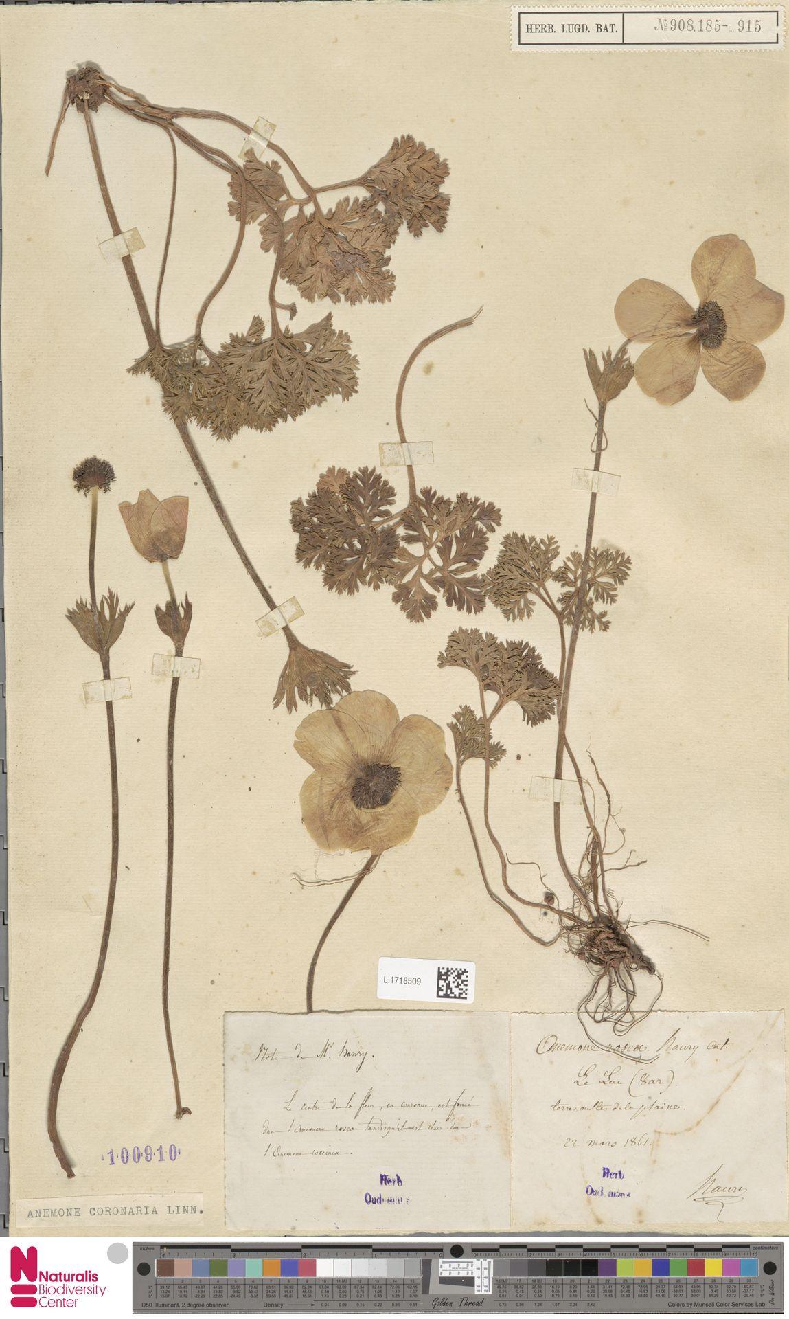 L.1718509 | Anemone coronaria L.