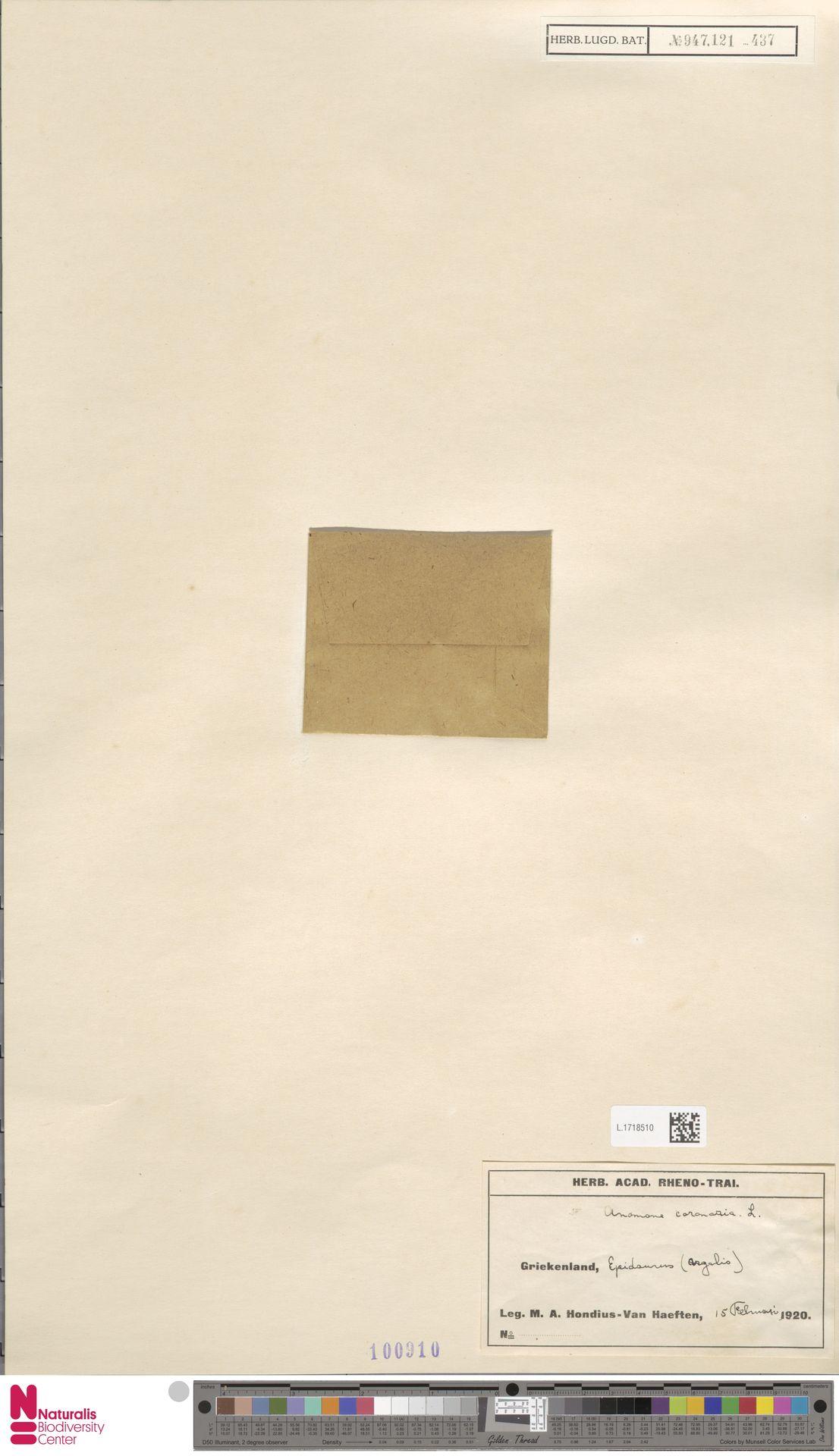 L.1718510 | Anemone coronaria L.