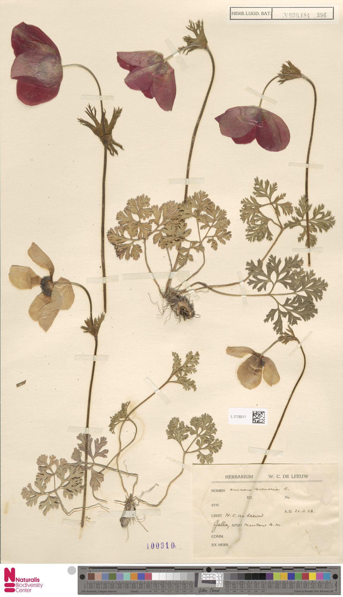 L.1718511 | Anemone coronaria L.