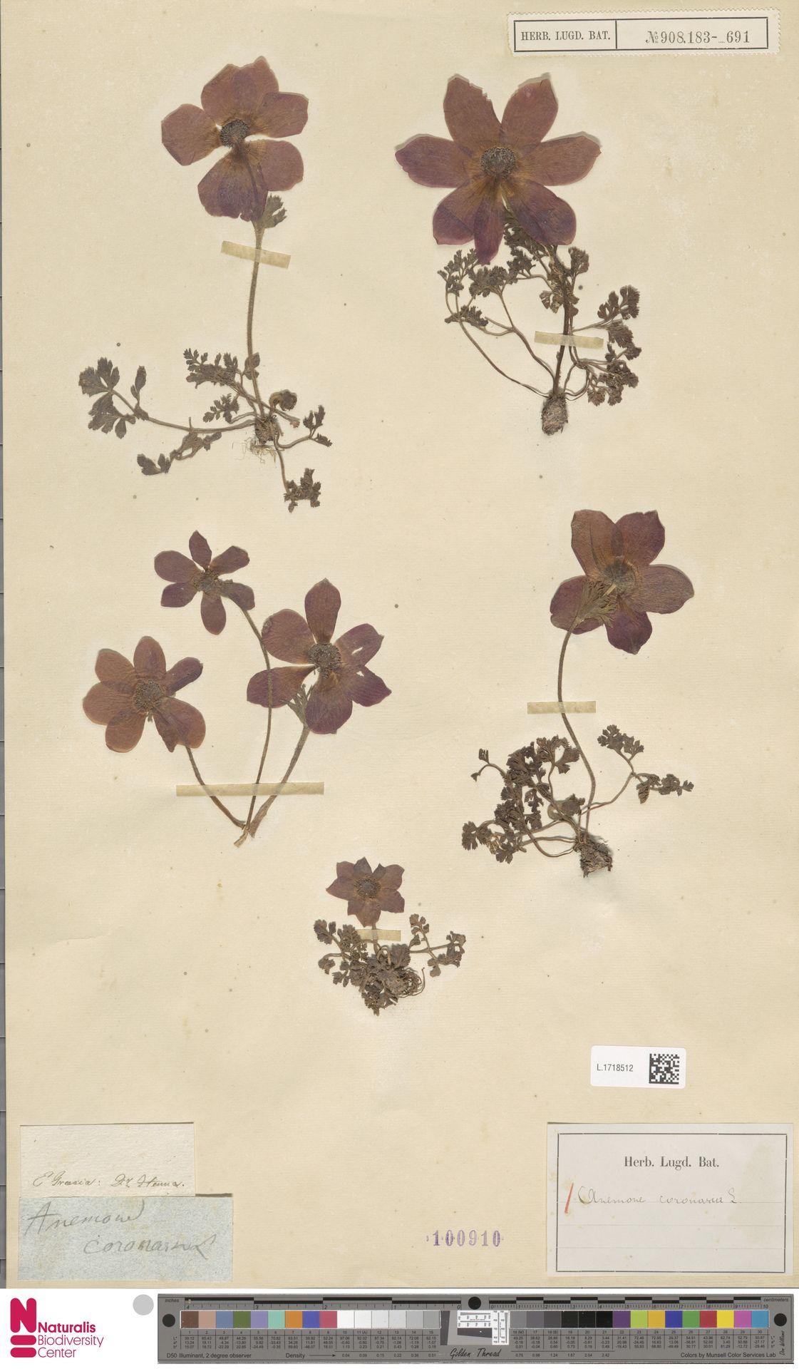 L.1718512 | Anemone coronaria L.