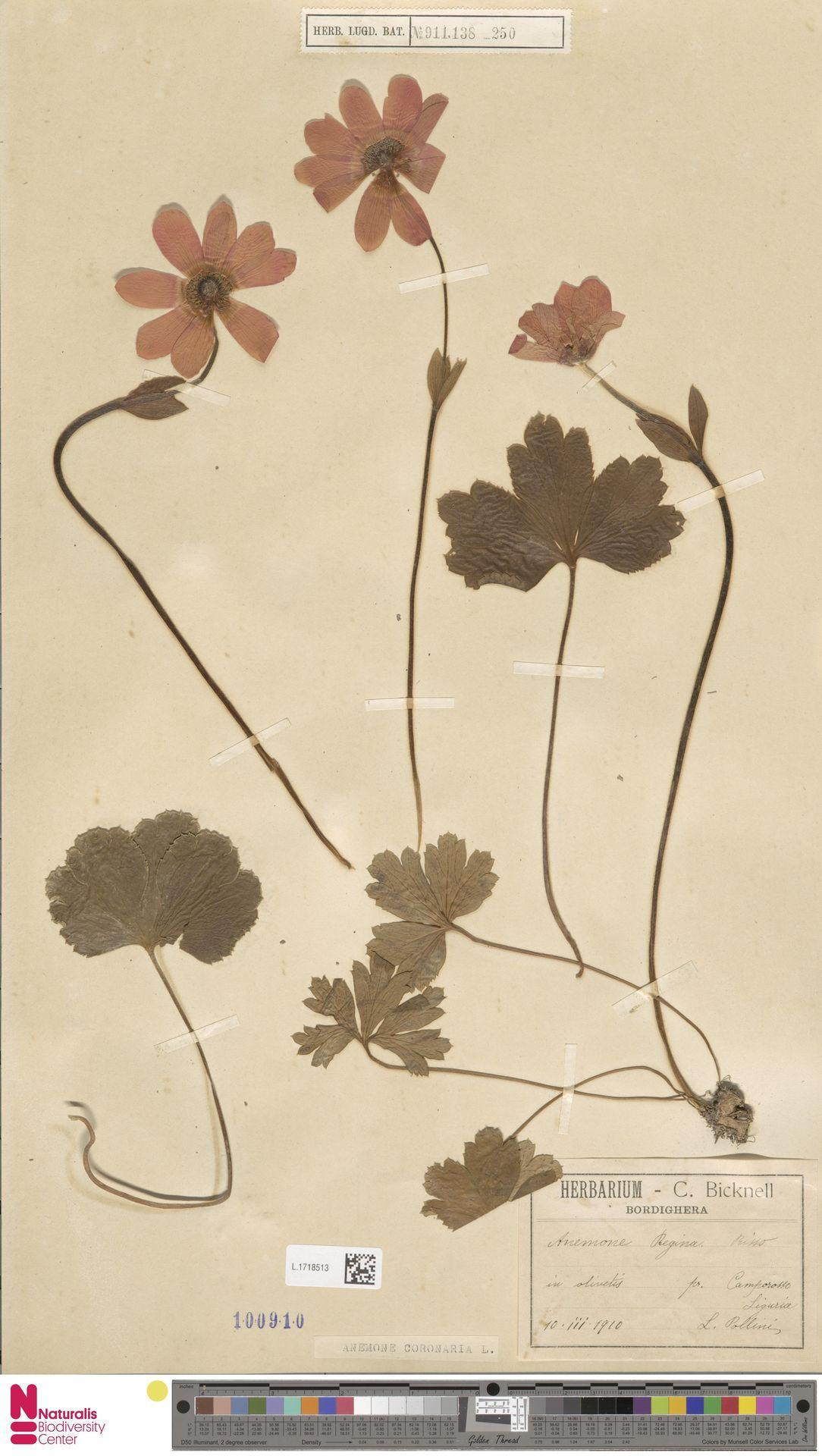 L.1718513 | Anemone coronaria L.