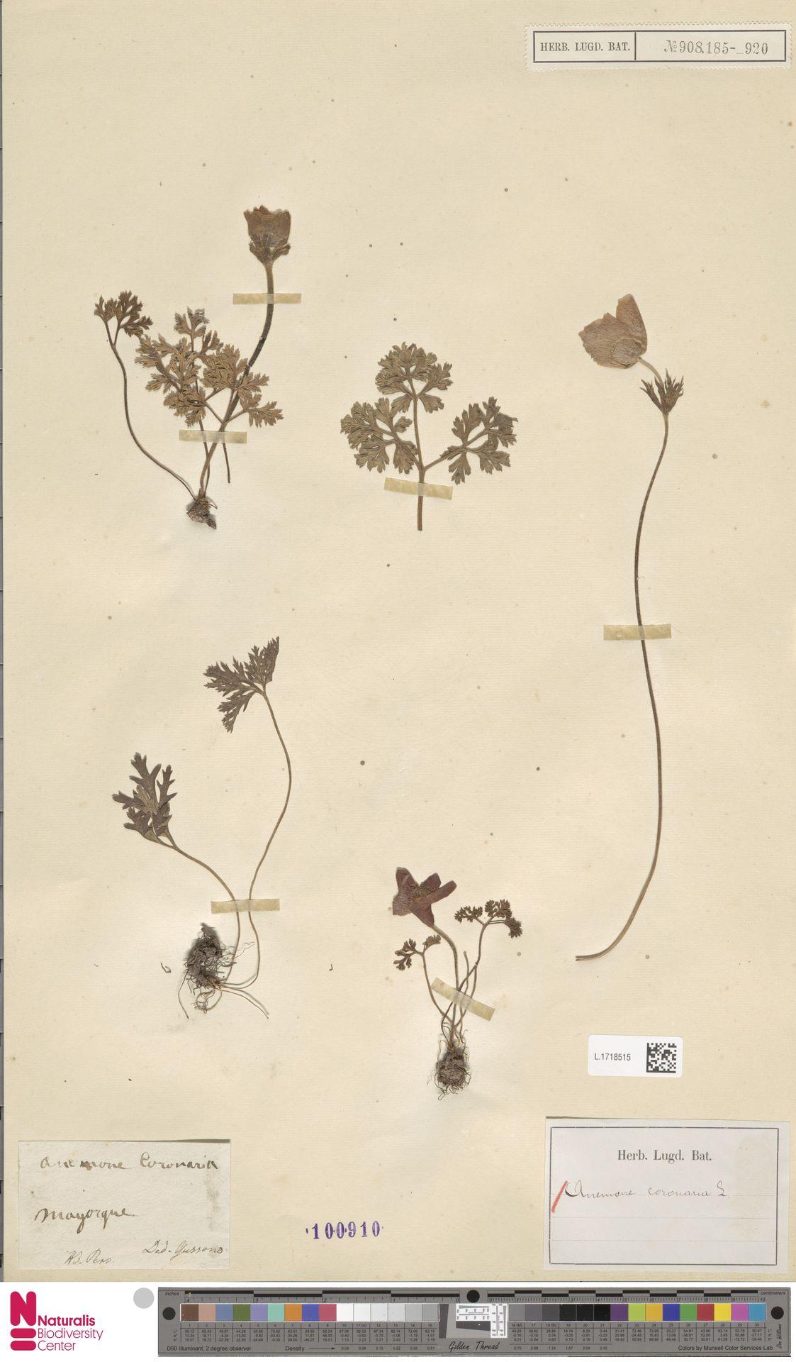 L.1718515 | Anemone coronaria L.