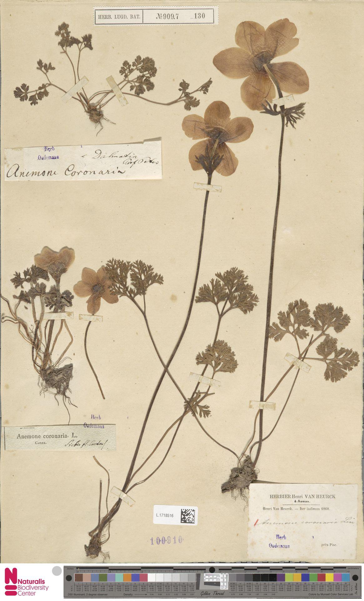 L.1718516 | Anemone coronaria L.