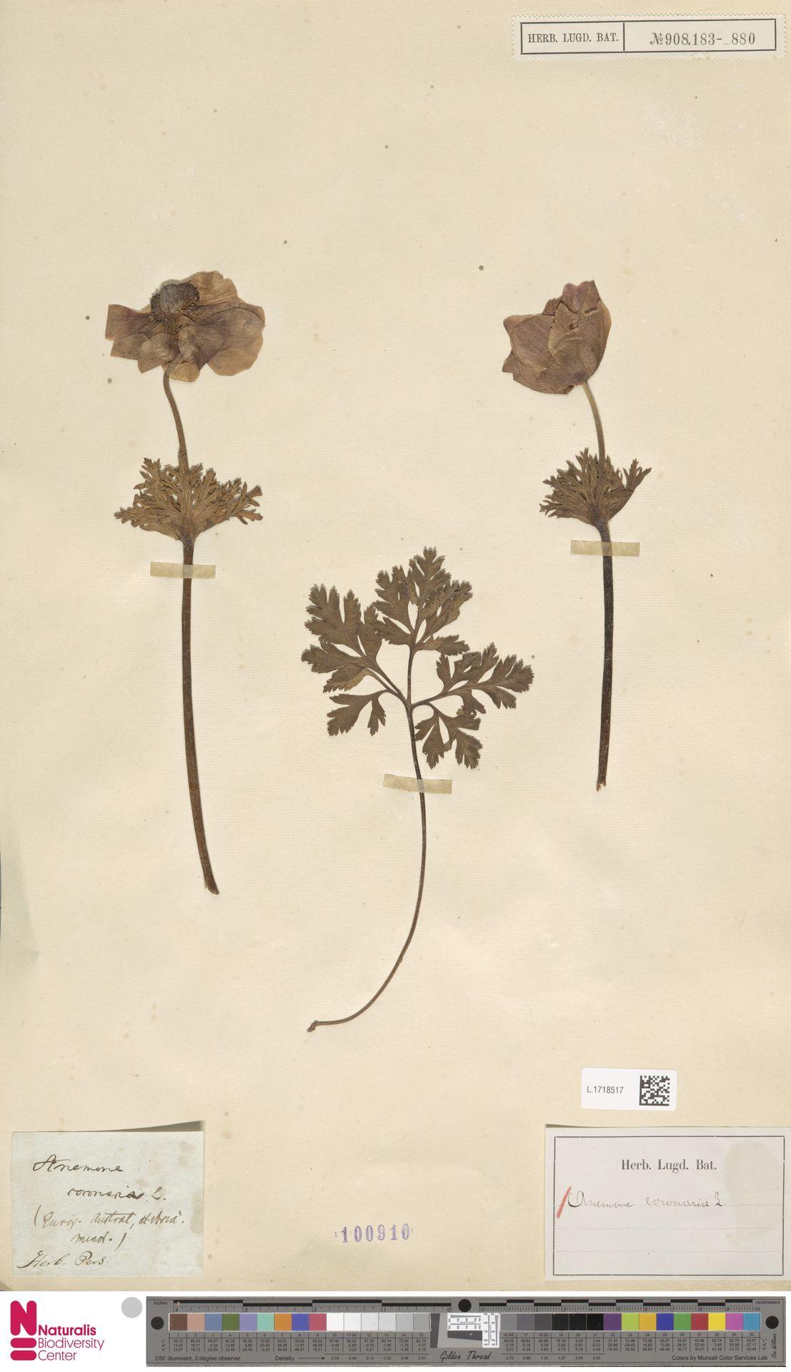 L.1718517 | Anemone coronaria L.