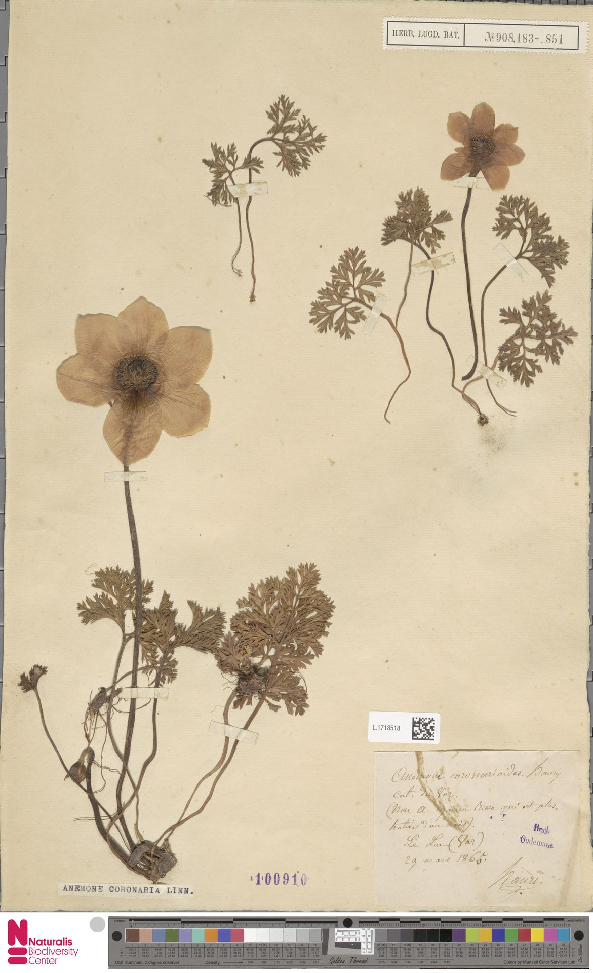 L.1718518 | Anemone coronaria L.
